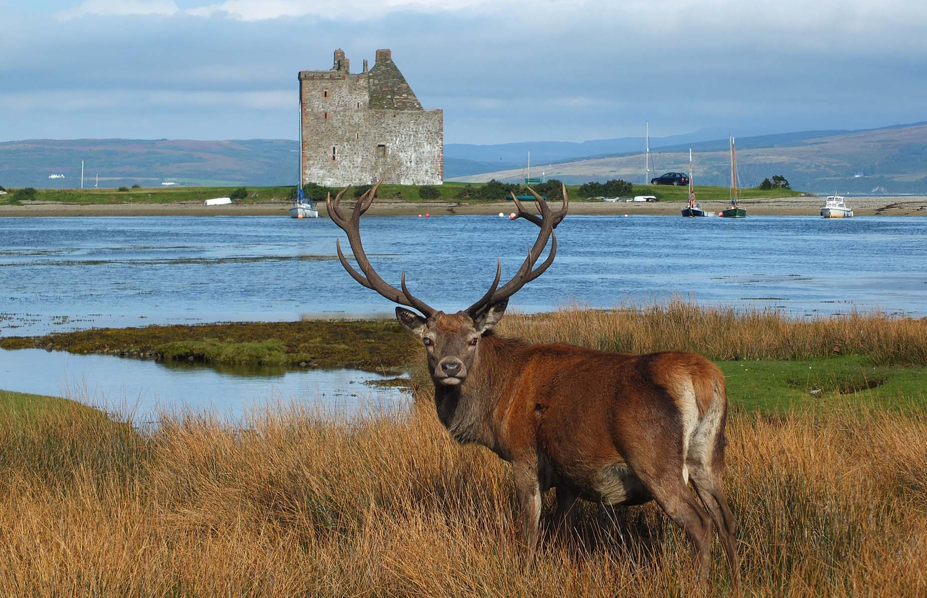 Red deer on the Isle of Arran in Scotland (Image: Allan Napier/Shutterstock)