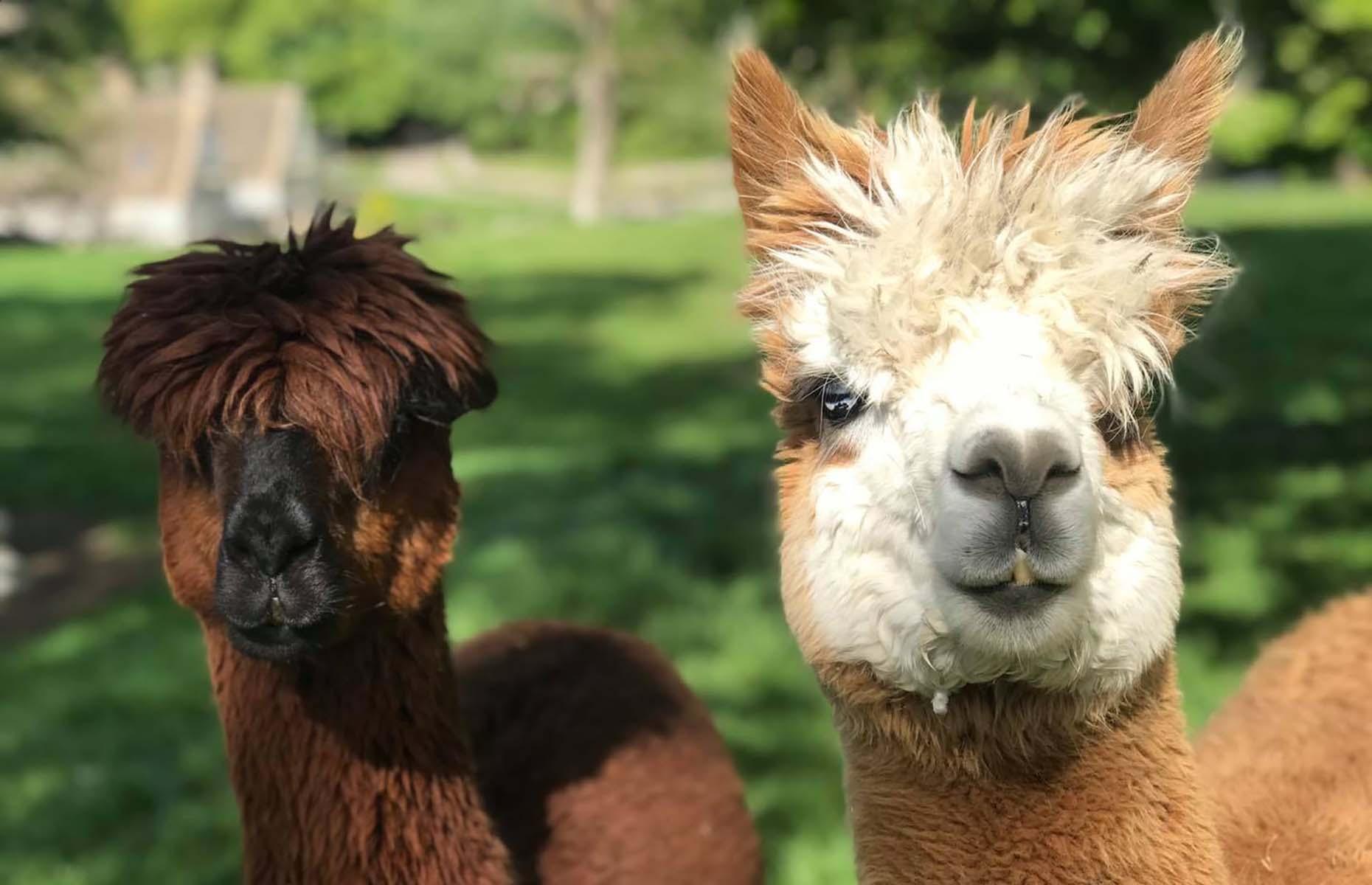 Alpacas at the Notgrove Estate (Image: Notgrove Holidays/Facebook)