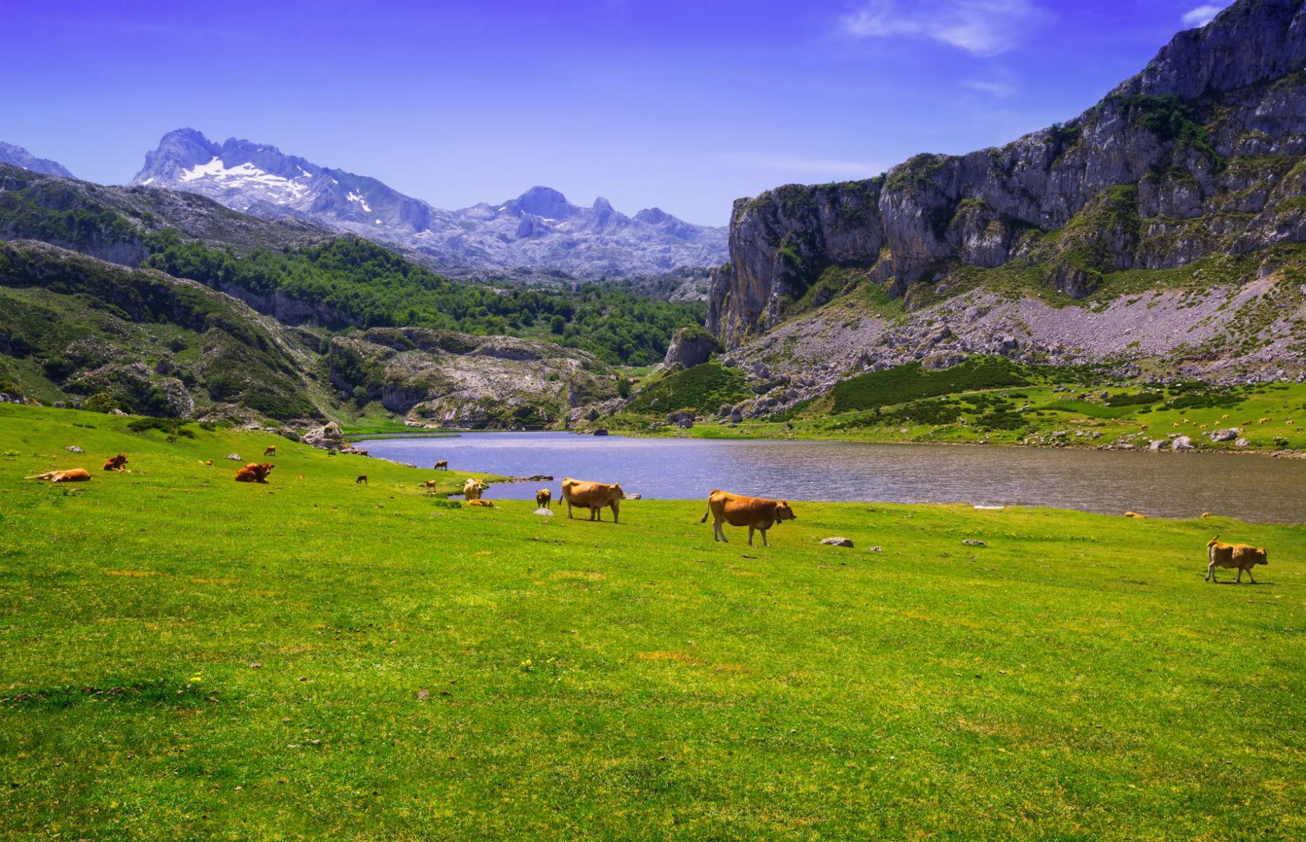 cows in Asturias