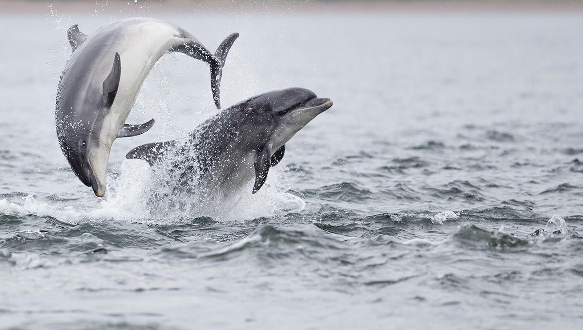 Dolphins in the North Sea
