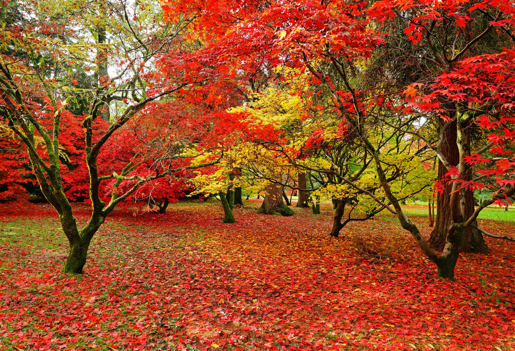 The acer trees in autumn colours at Westonbirt Arboretum (credit: PJ photography/Shutterstock)