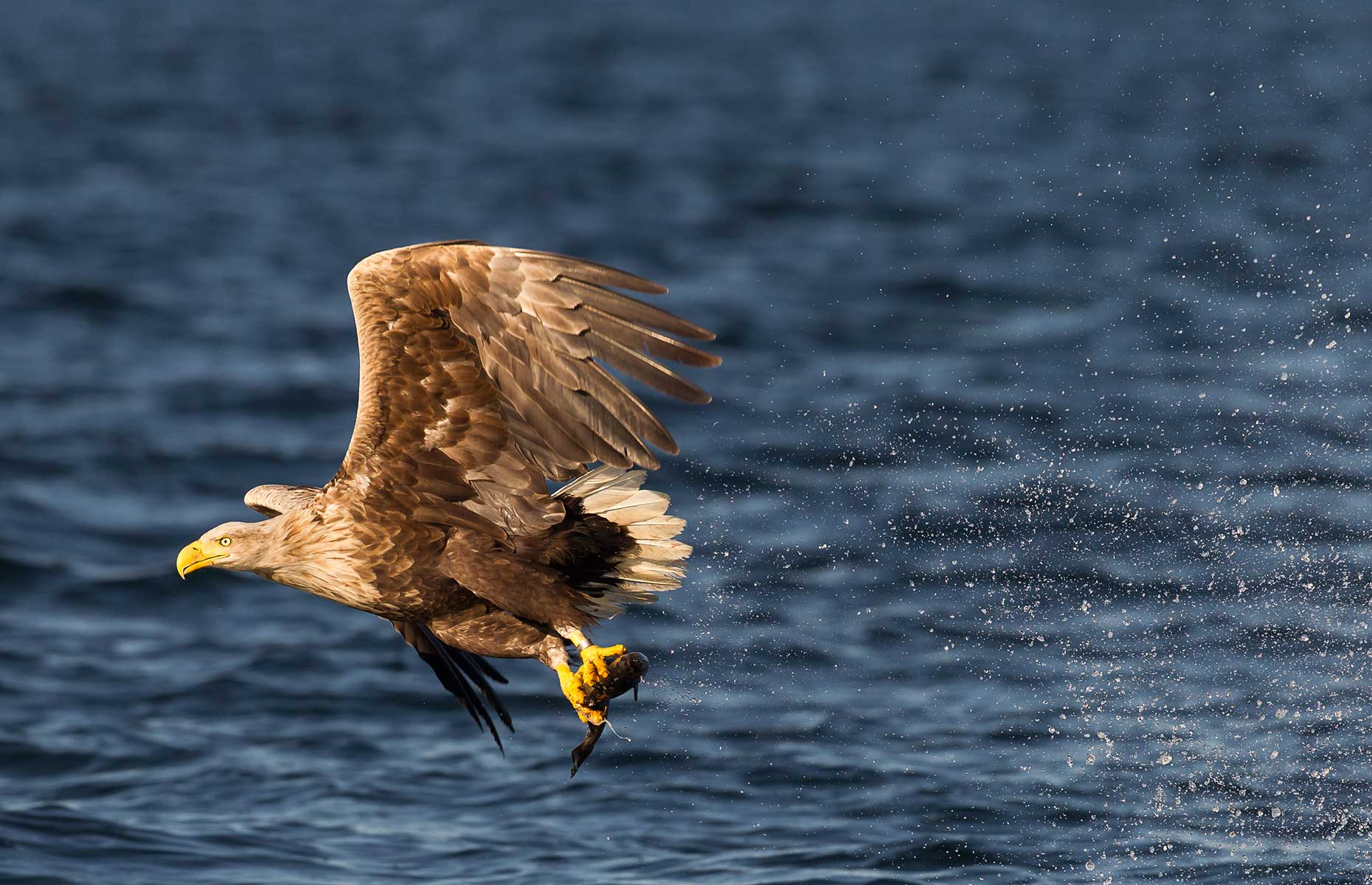 Eagle soars off the coast of the Scottish Highlands