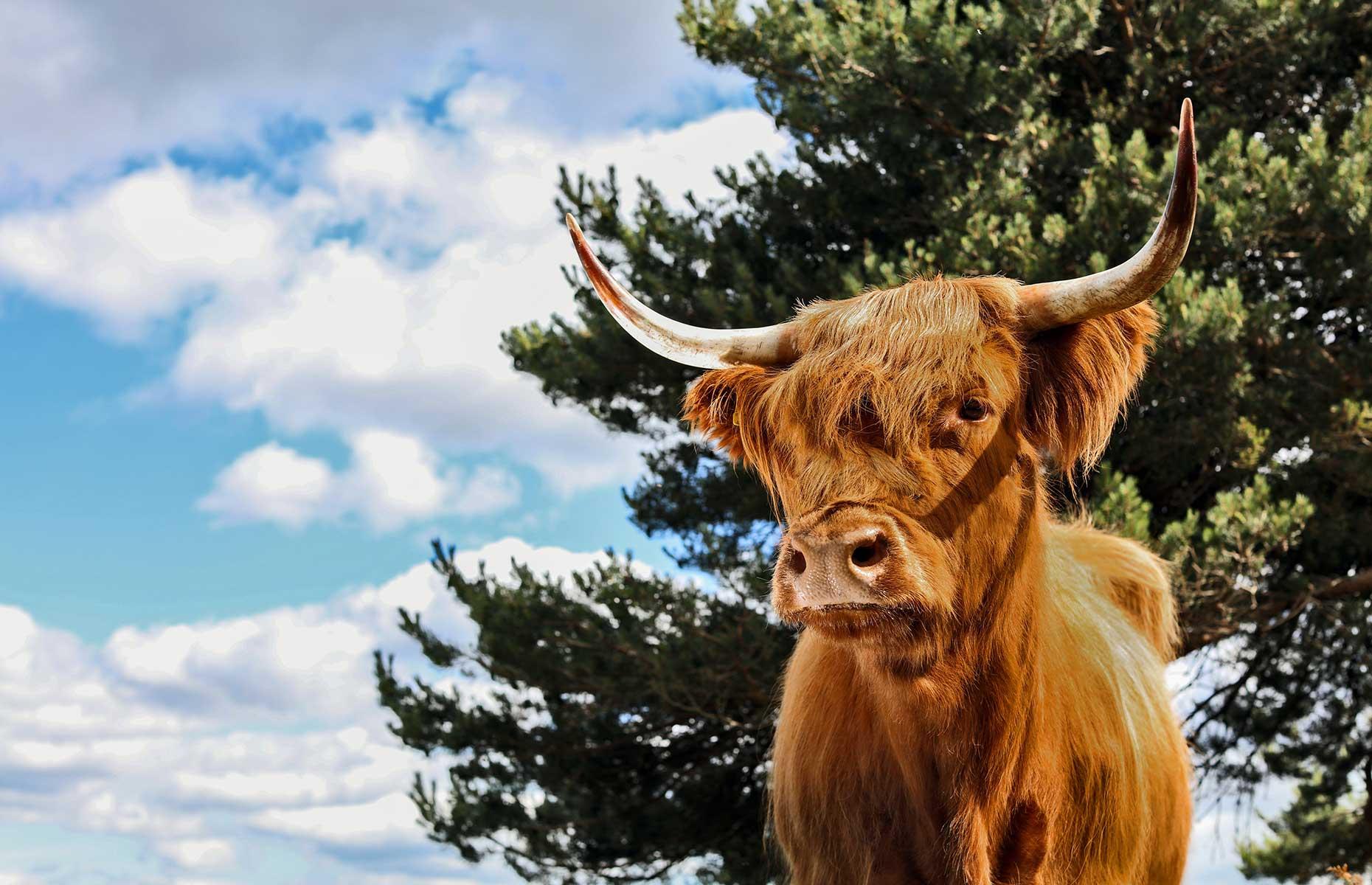 Aberdeenshire Highland Beef Farm