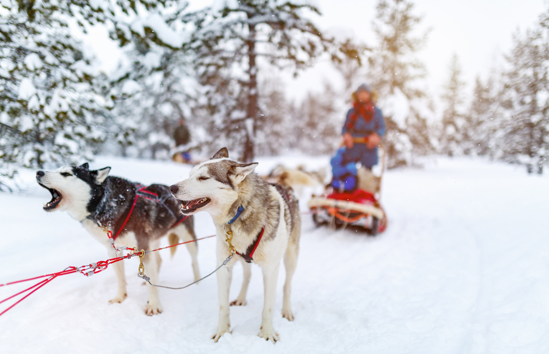 Huskies, Arctic, sledding