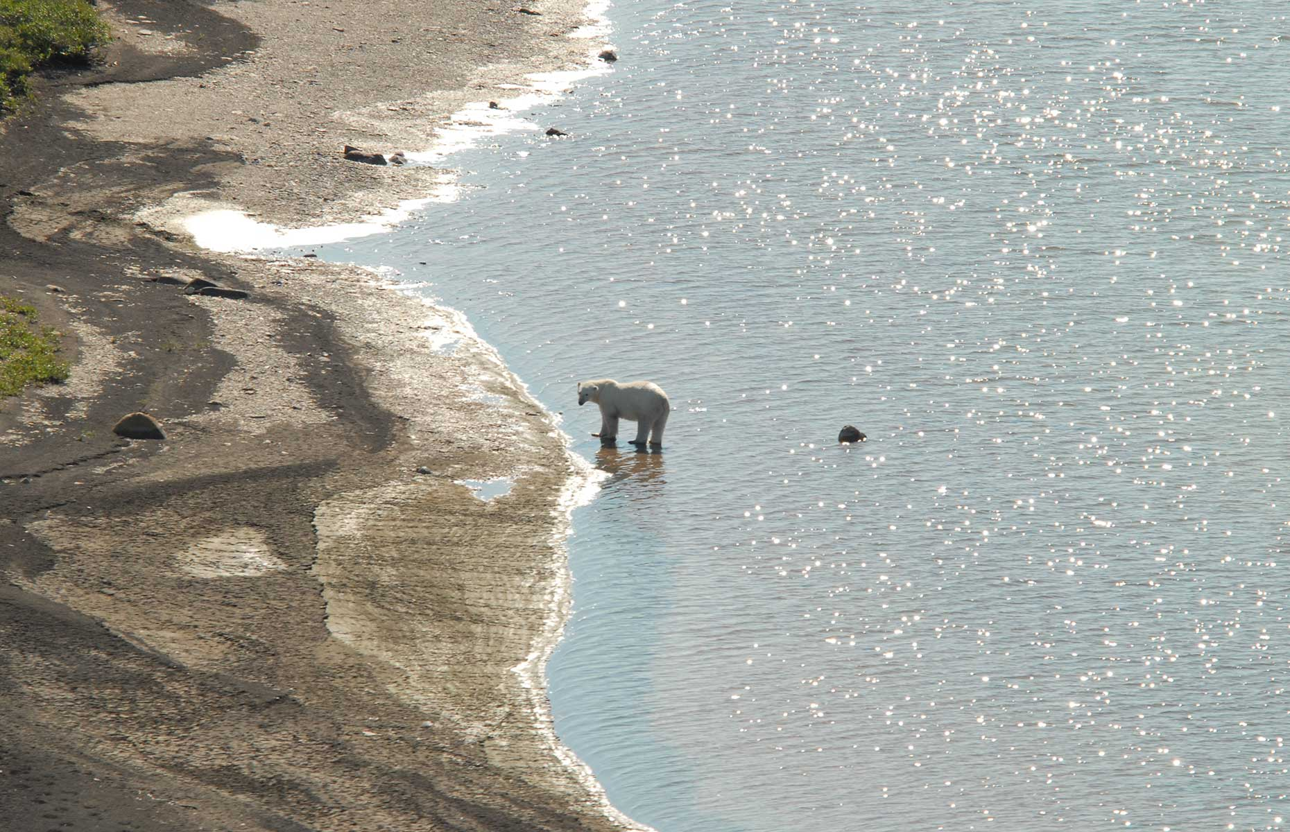 A polar bear in the Hudson, near Churchill, Manitoba