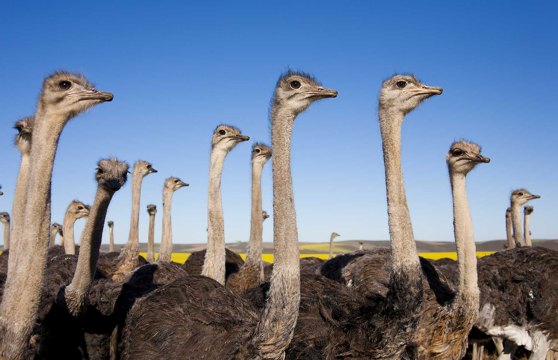 Group of ostriches along the Garden Route with yellow rapeseed fields in background