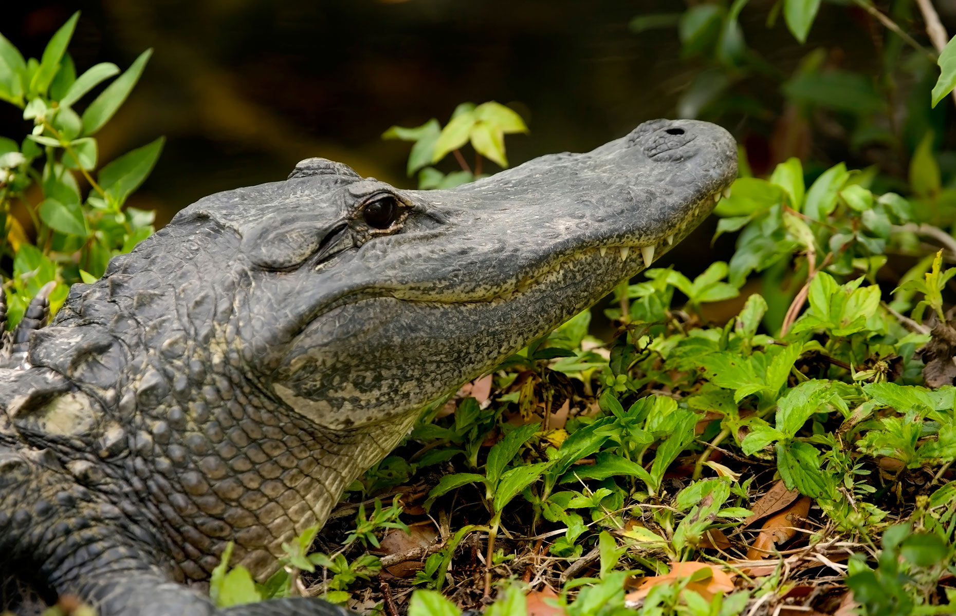 A Floridian alligator (image: Thomas Levine/Shutterstock)