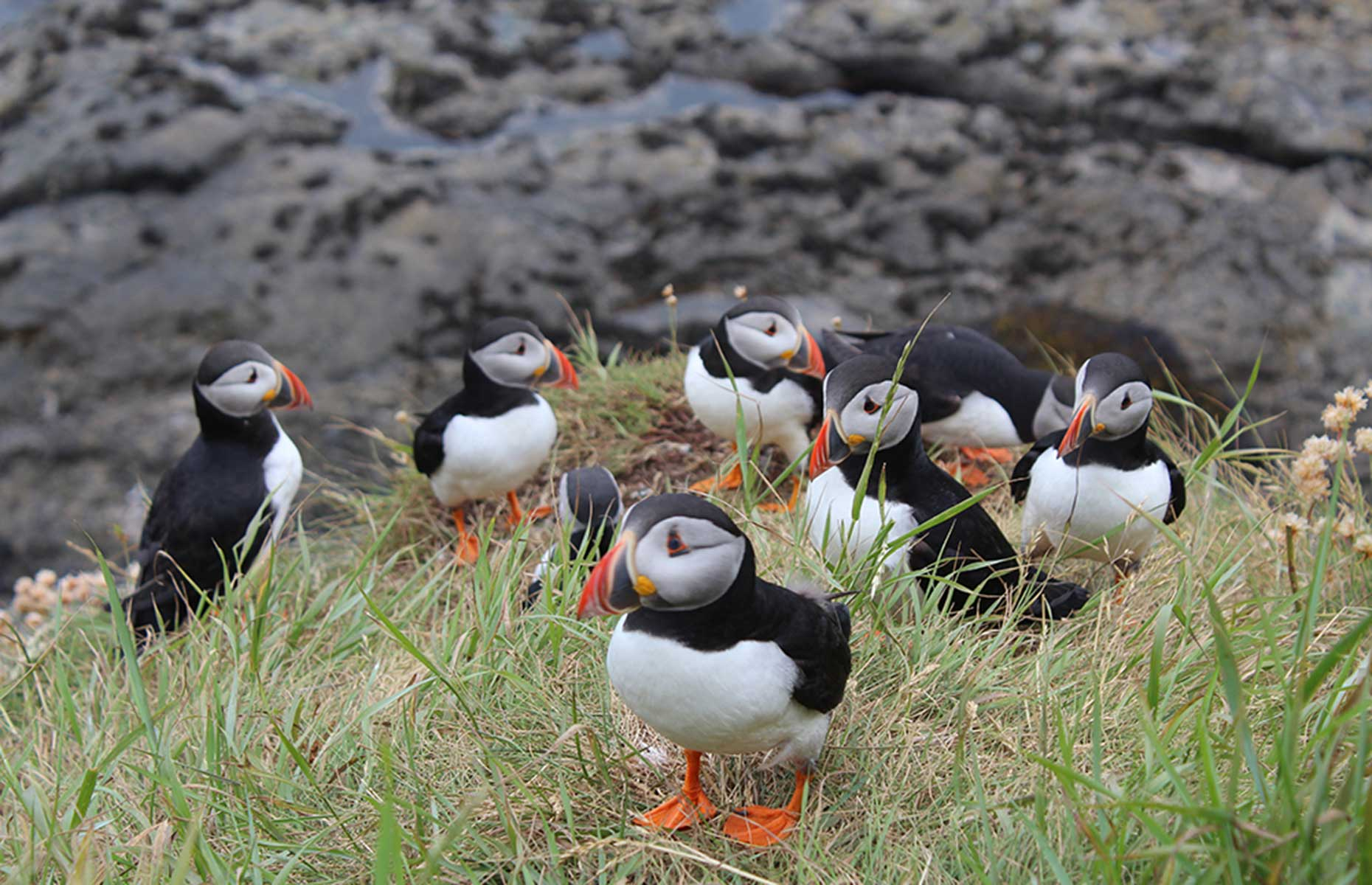Puffins on Staffa Scotland