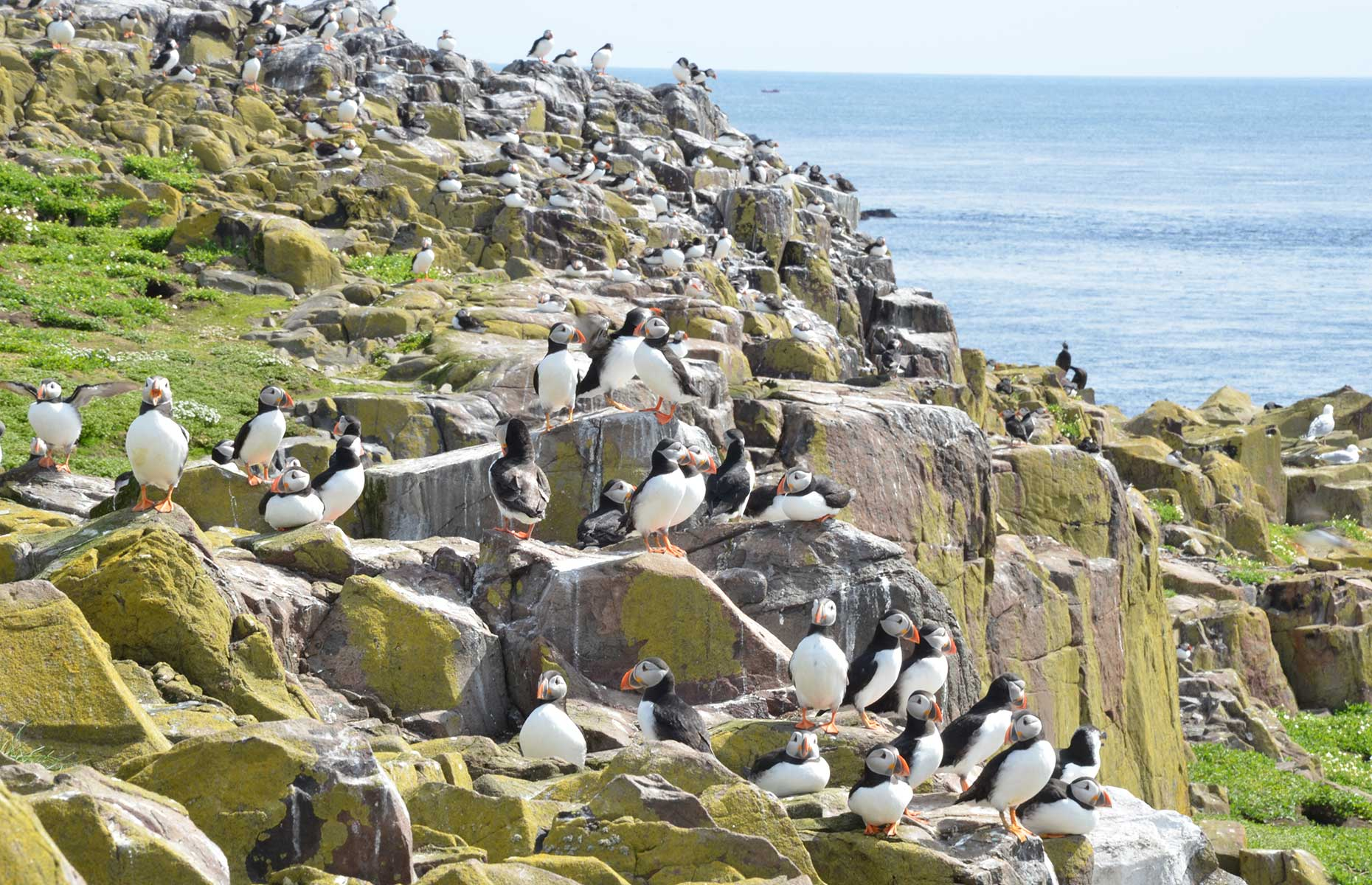 A puffin colony on Farne Islands