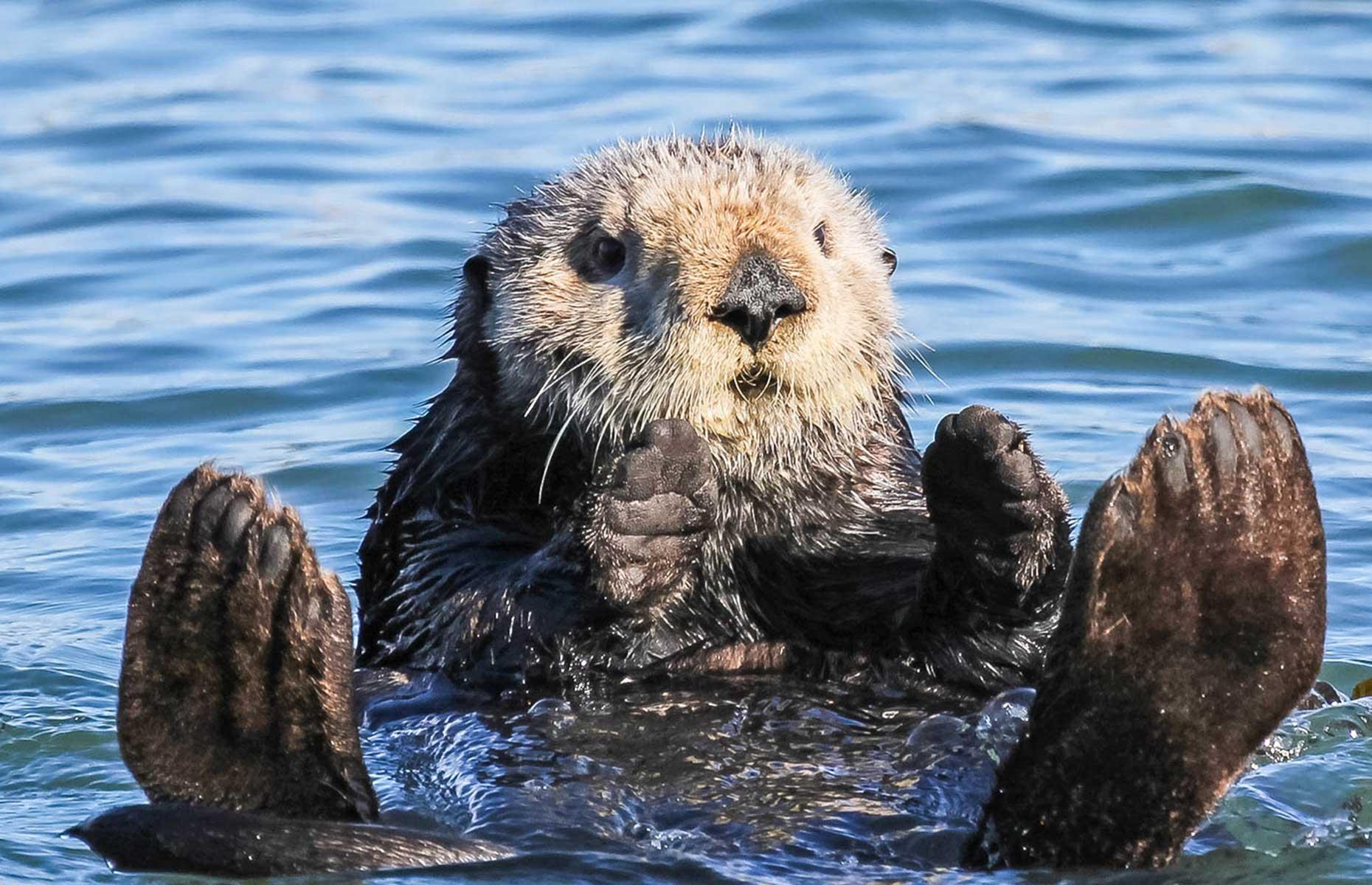 A sea otter in Morro Bay near San Luis Obispo