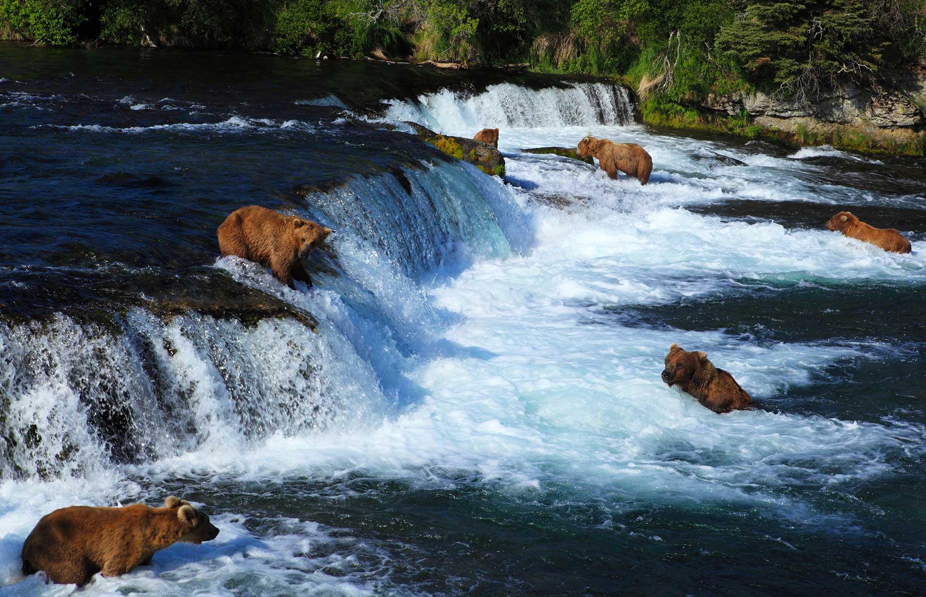 Bears in Katmai National Park