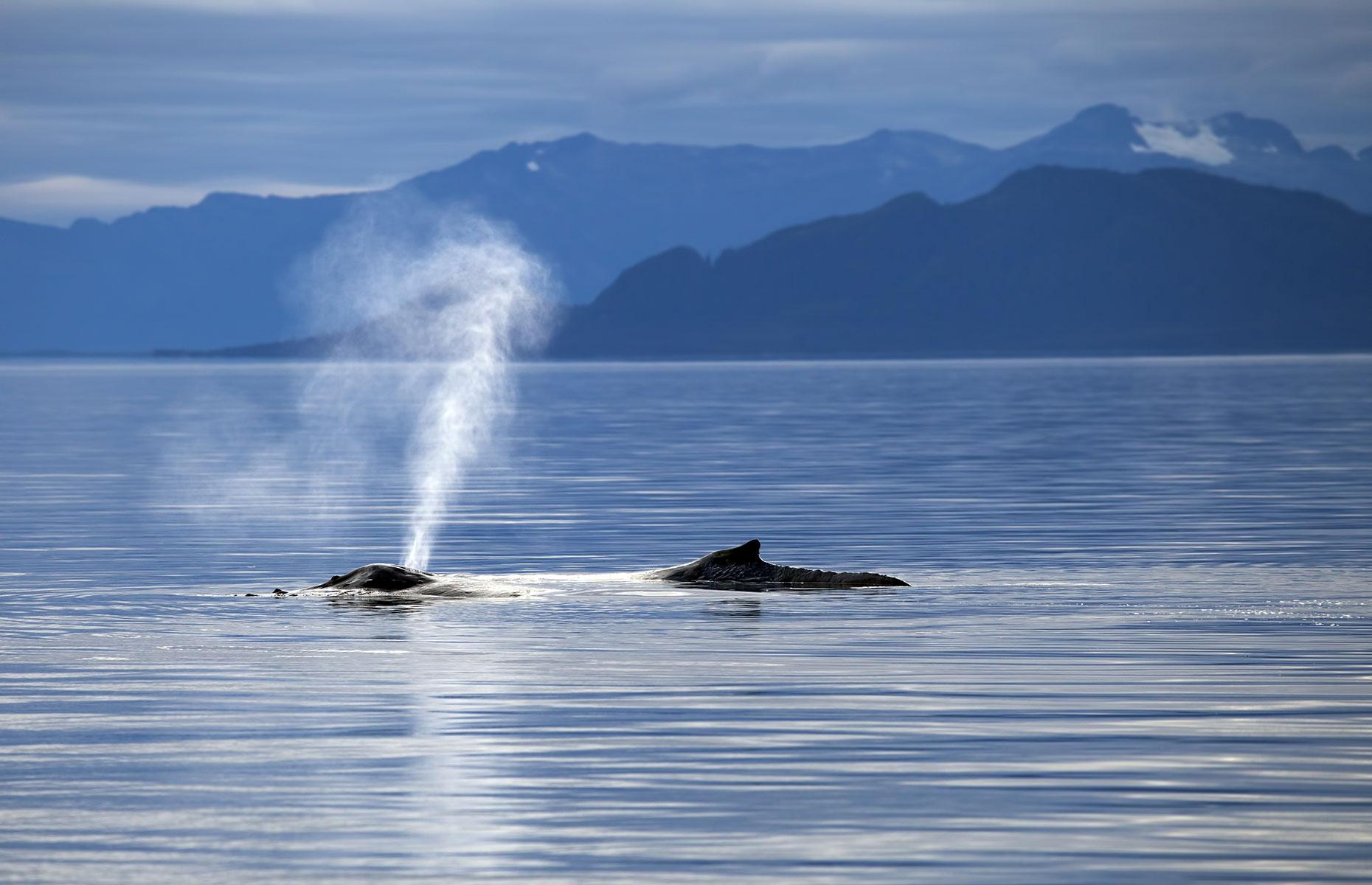 Whales in Inside Passage, Alaska