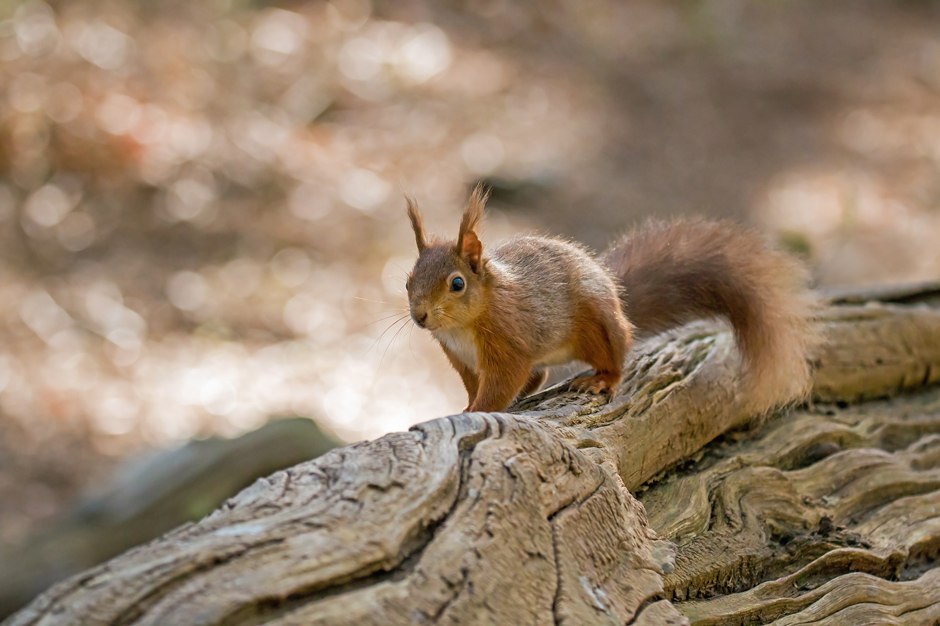 Red squirrel on Brownsea