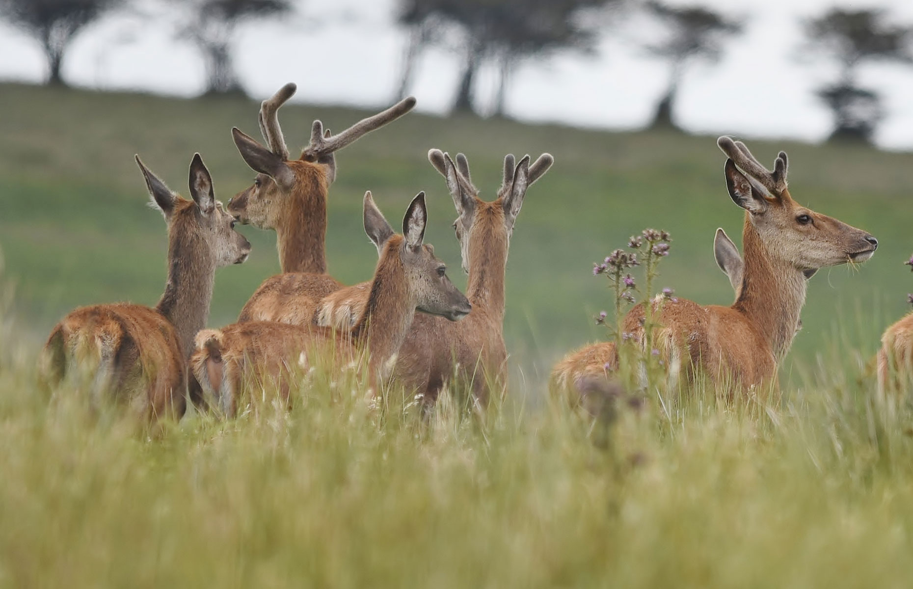 Red deer in Exmoor National Park with their furry antlers just popping up over the grass (Angela Lock/Shutterstock)