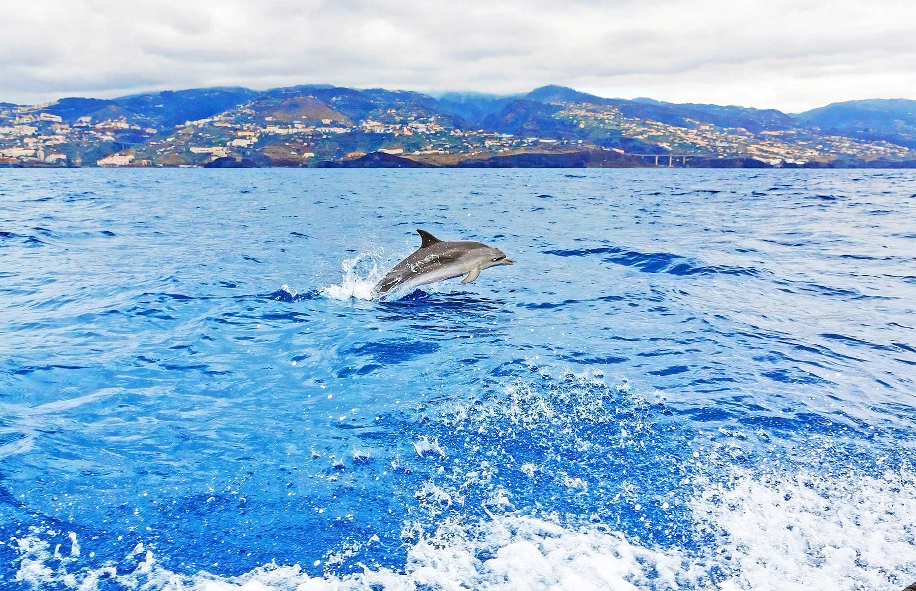 Dolphin off the coast of Madeira, Portugal (Image: aldorado/Shutterstock)