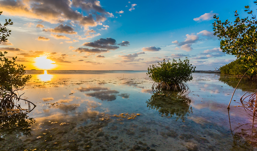 Mangrove, Key Largo