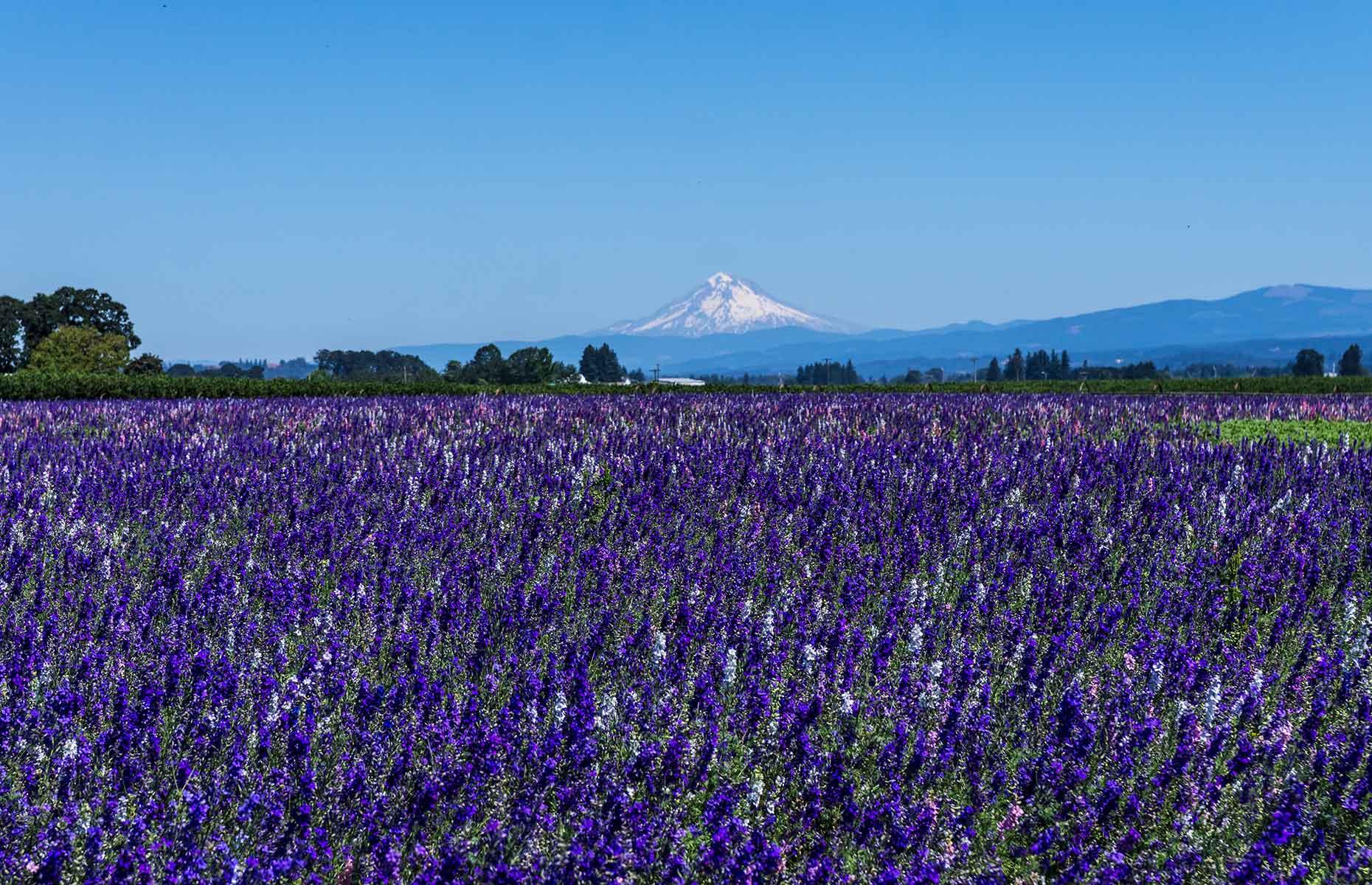 Lavender fields Willamette Valley, Oregon (Image: Cynthia Liang/Shutterstock)