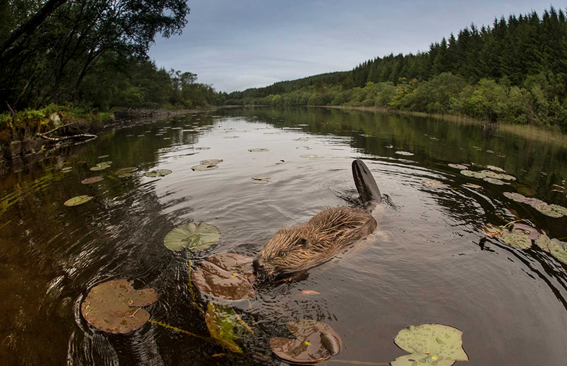 Beavers in Scotland (Image: Rewilding Escapes)