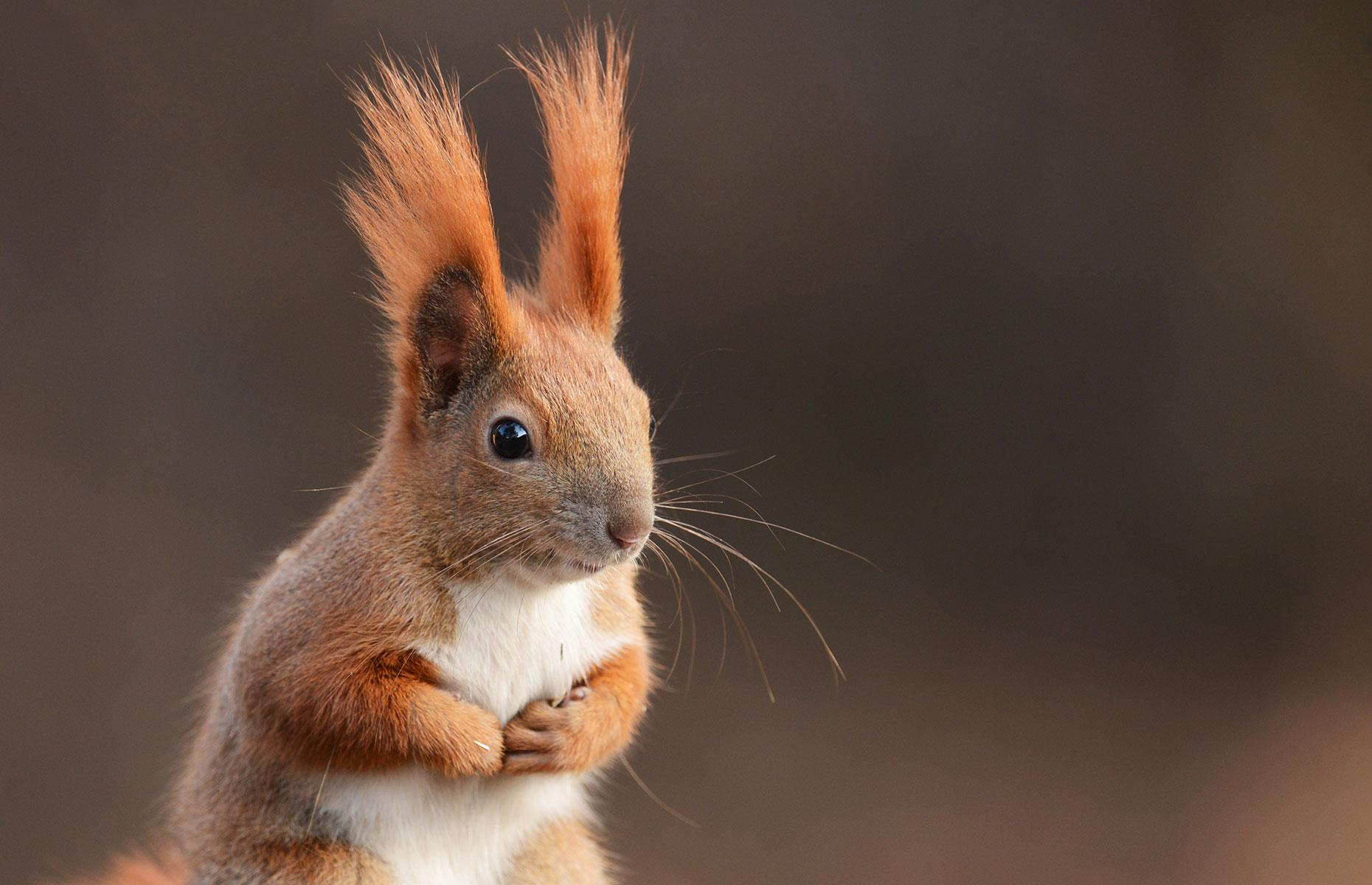 A red squirrel in Scotland (Image: Piotr Krzeslak/Shutterstock)