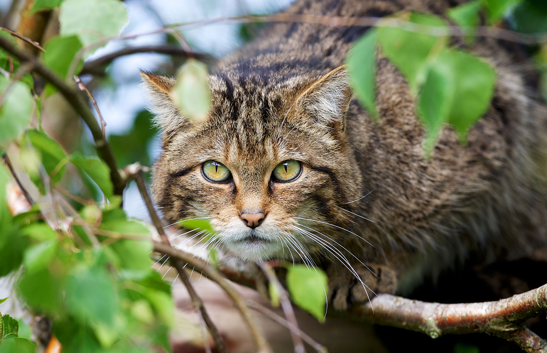 A Scottish wildcat, also known as a Highlands tiger (Image: Mark Bridger/Shutterstock))