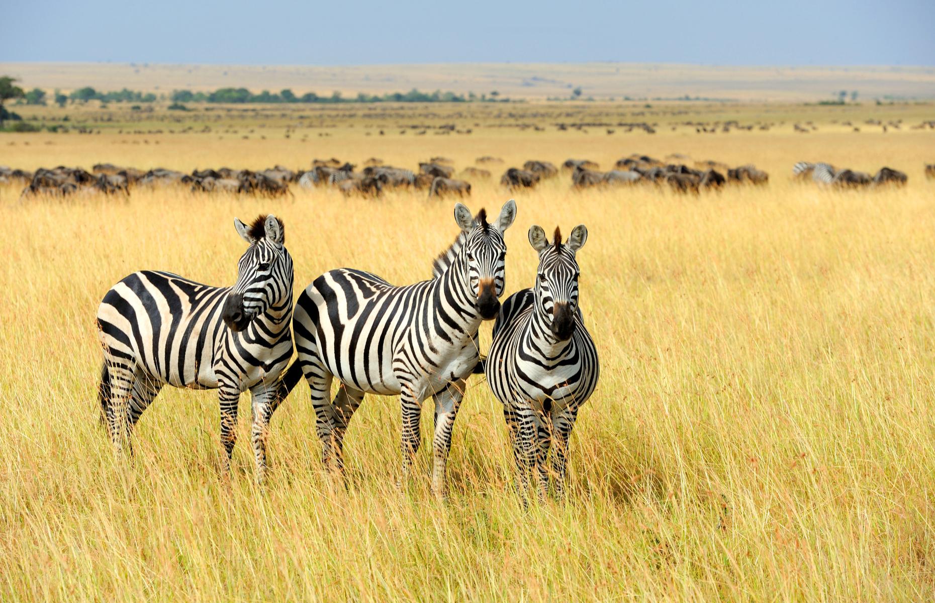 Zebra on soft safari