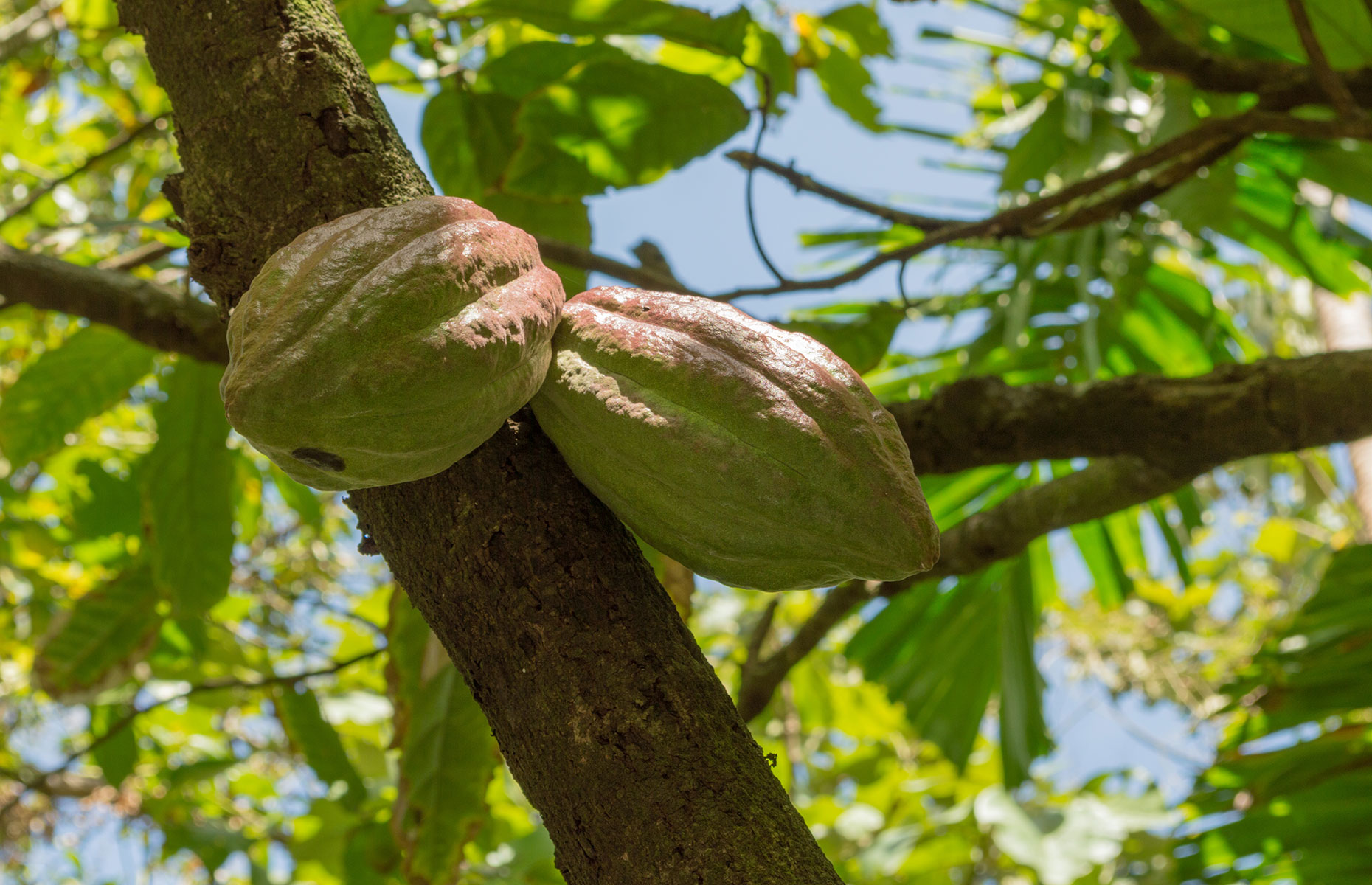 Cocoa trees on Saint Lucia (Image: Sublimage/Shutterstock)