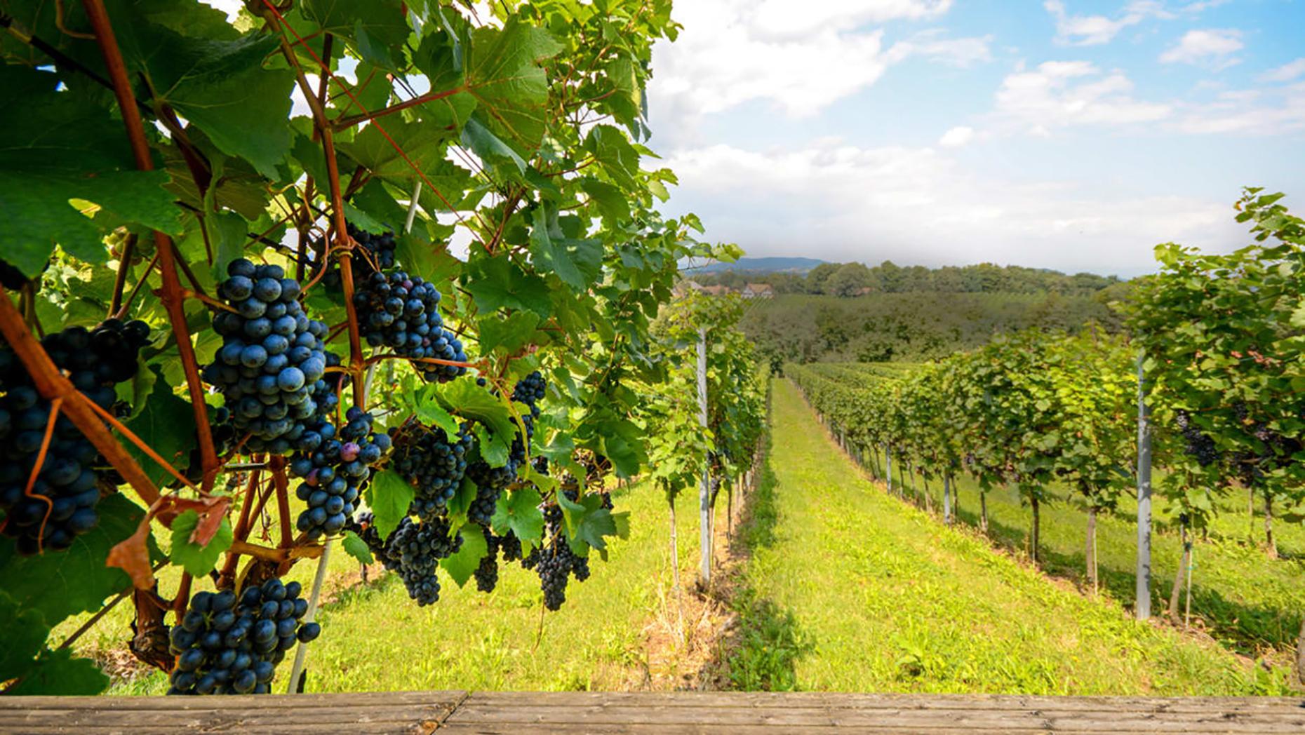 Vignoble L'Orpailleur vineyard