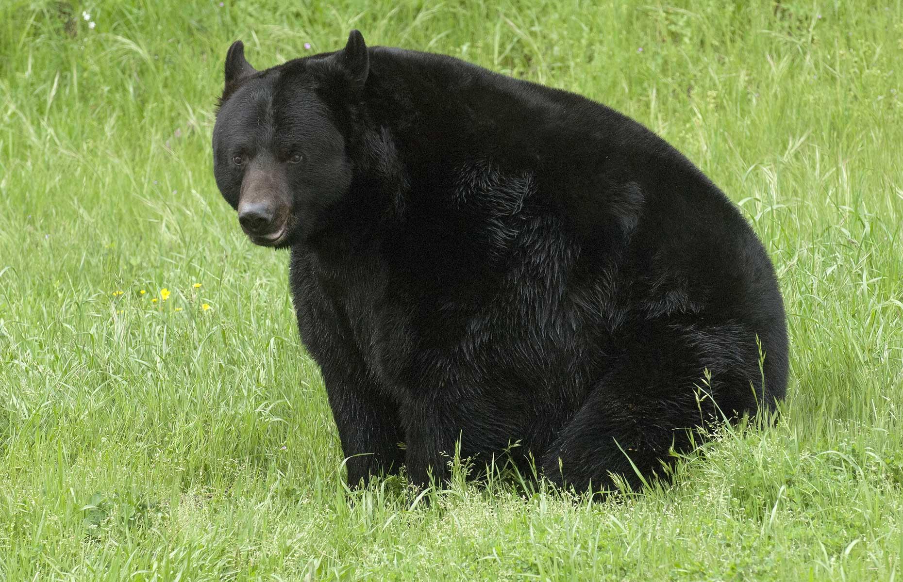 Black bear, California