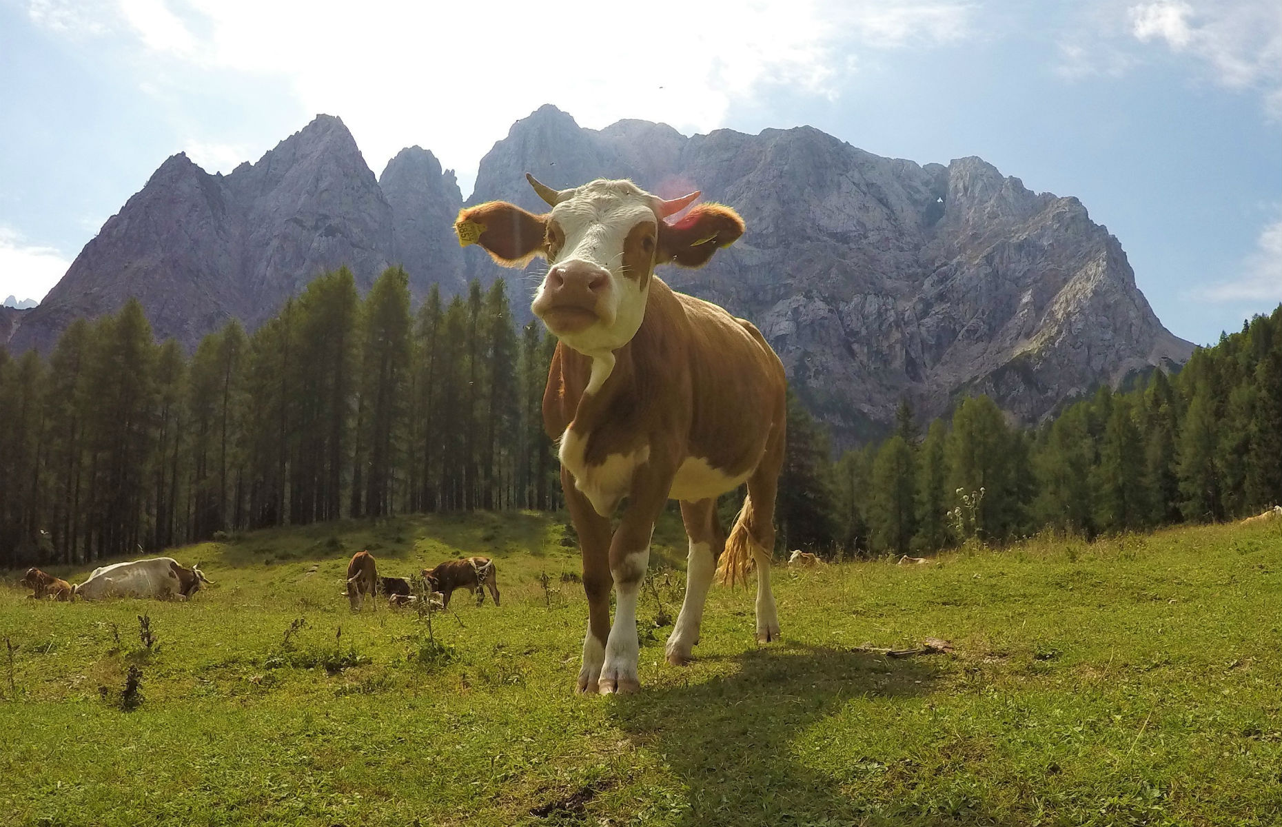 alpine_cow
