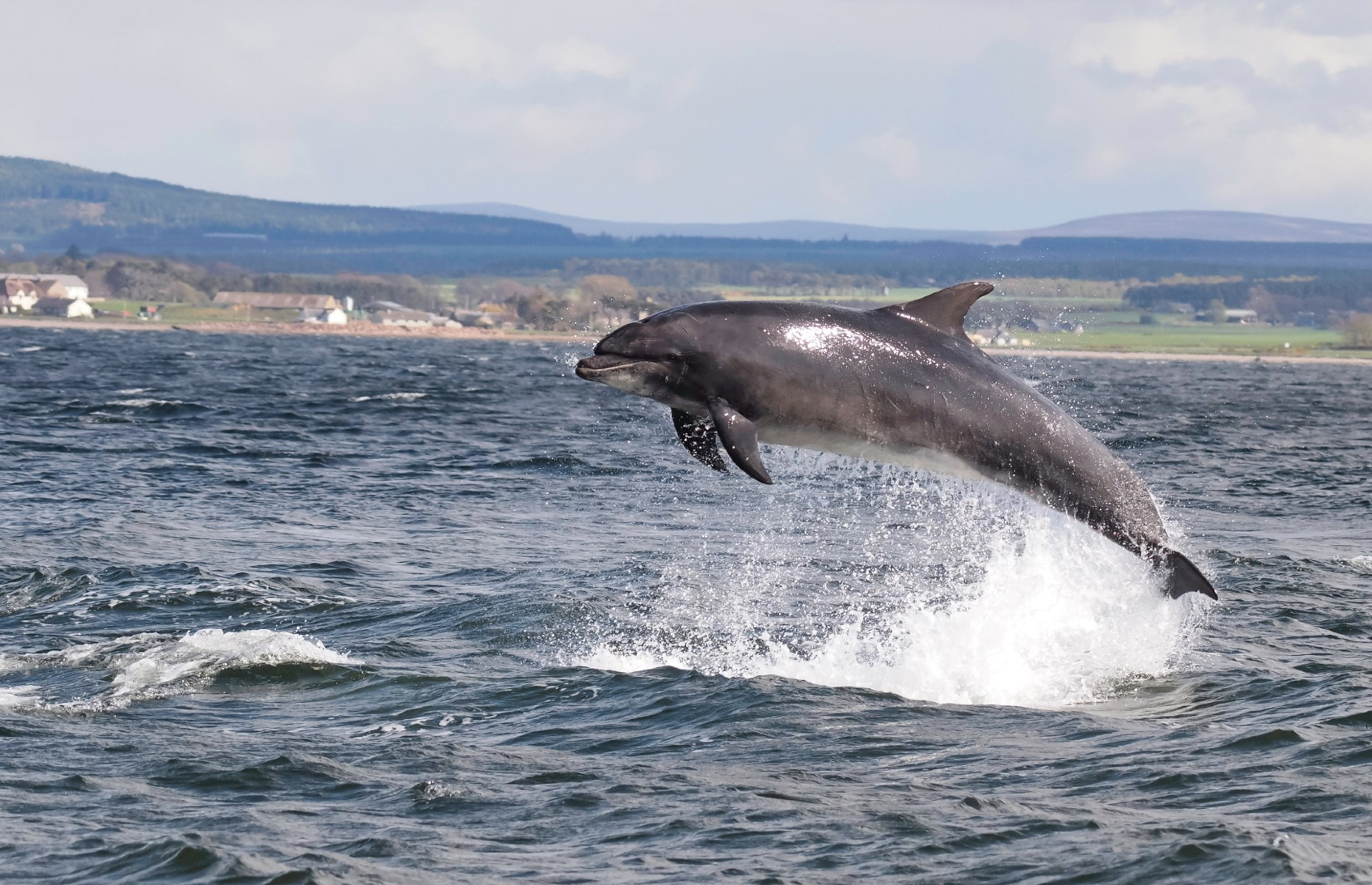 A dolphin in Mull (Image: Chanonry/Shutterstock)