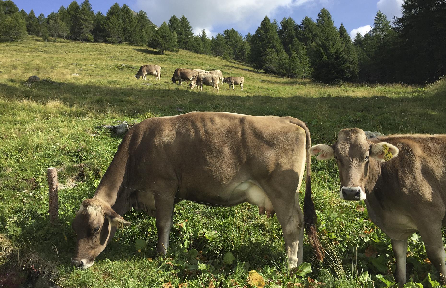 cows at Case di Viso