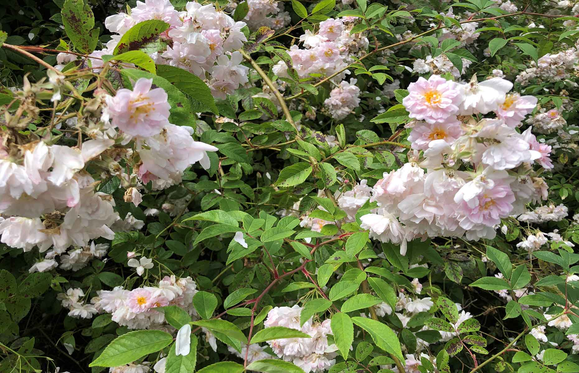 Rose bush (Image: Photo by Daisy Meager)