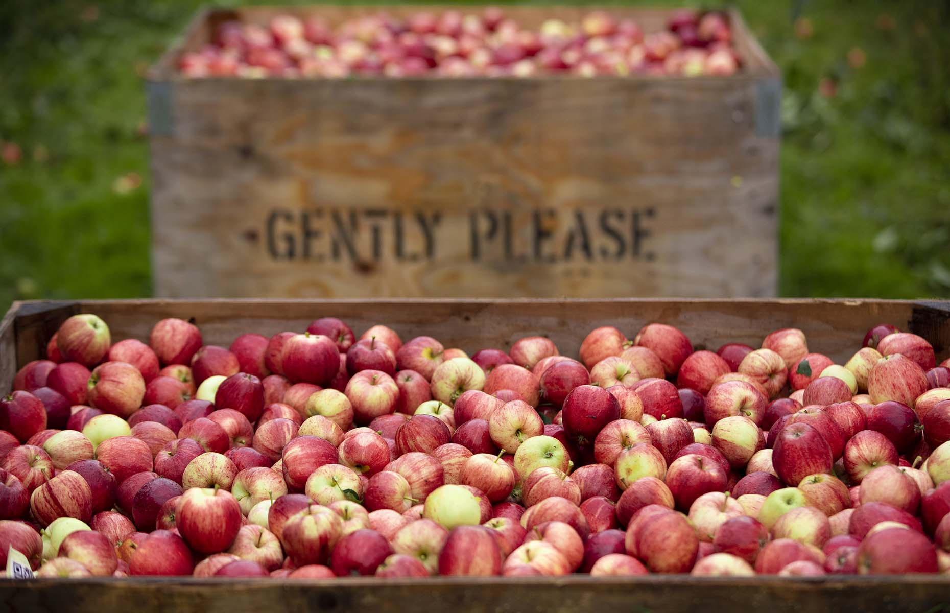 Picked red British apples in a crate (Image: Rod Kirkpatrick)