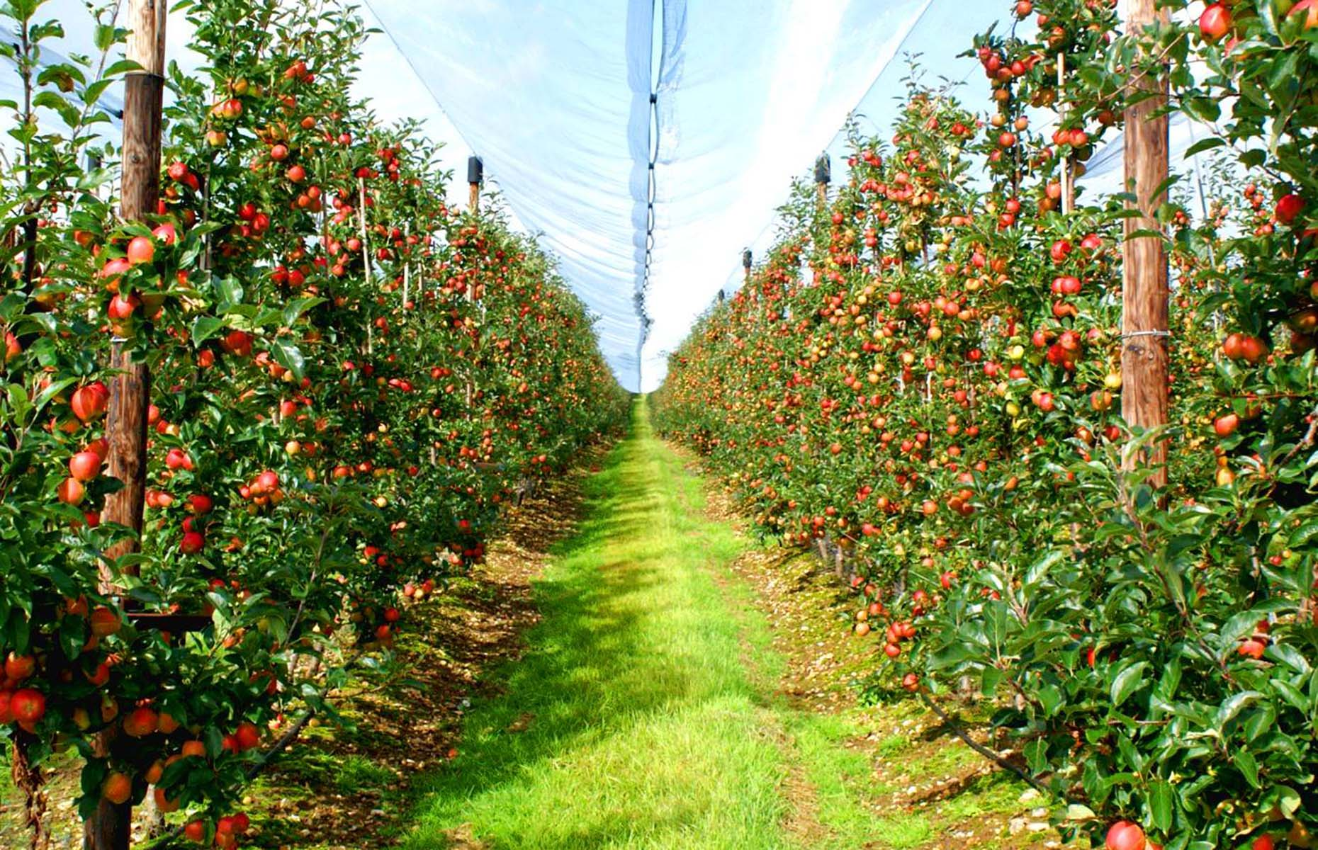 Apple trees in an orchard in Boxford Farms (Image: Boxford Farms/Facebook)
