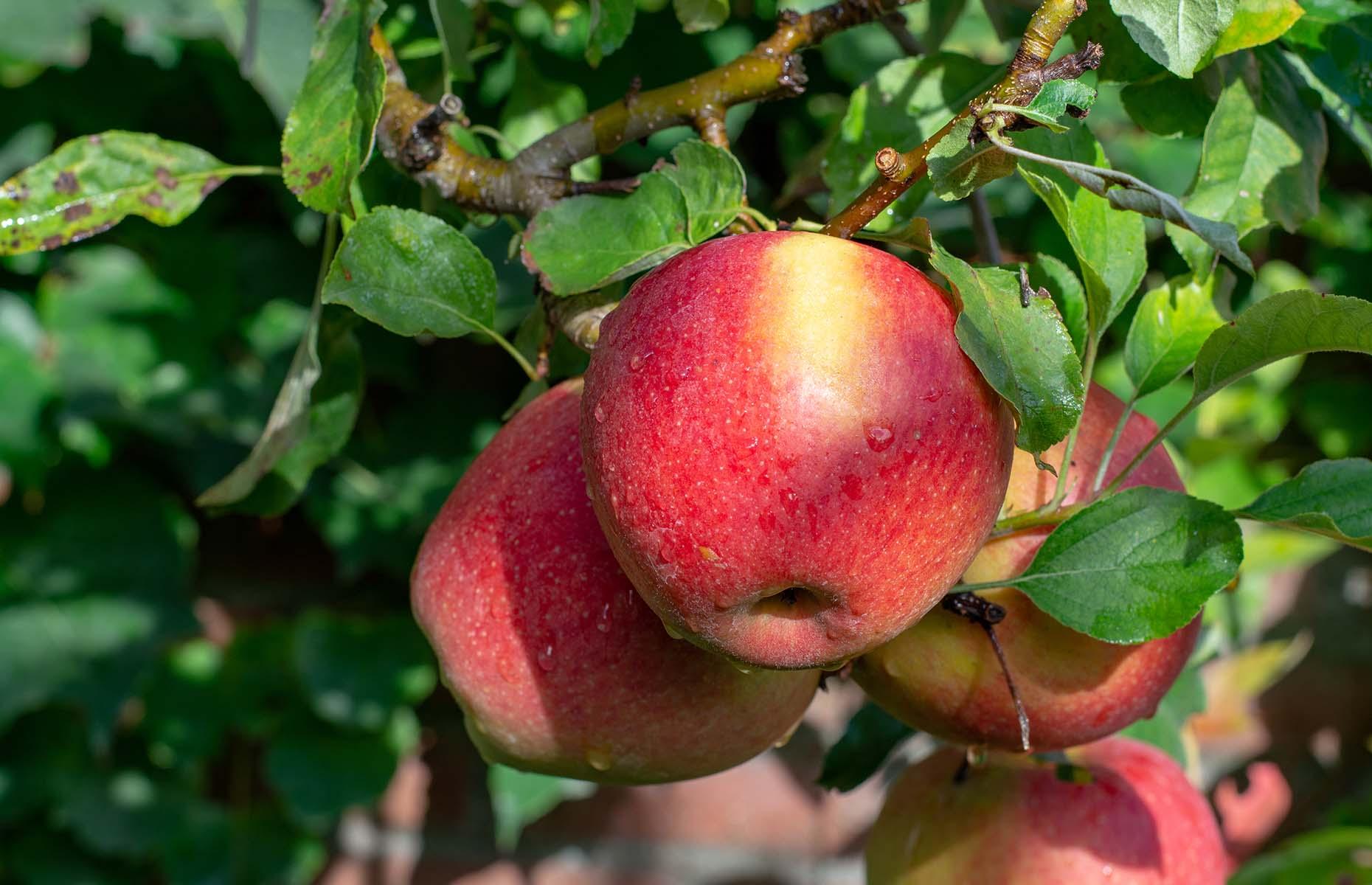 Braeburn apples (Image: barmalini/Shutterstock)