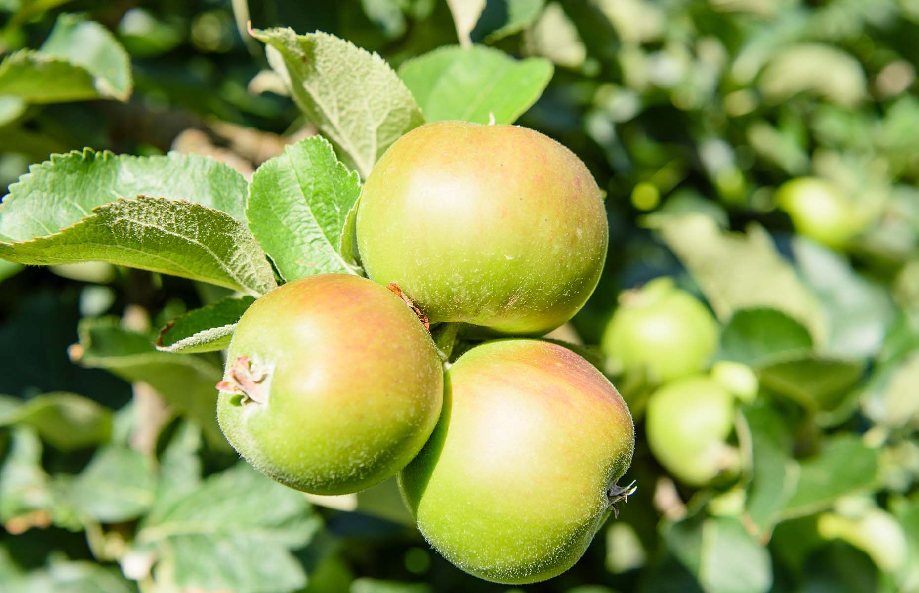 Bramley apples (Image: Stephen Barnes/Shutterstock)