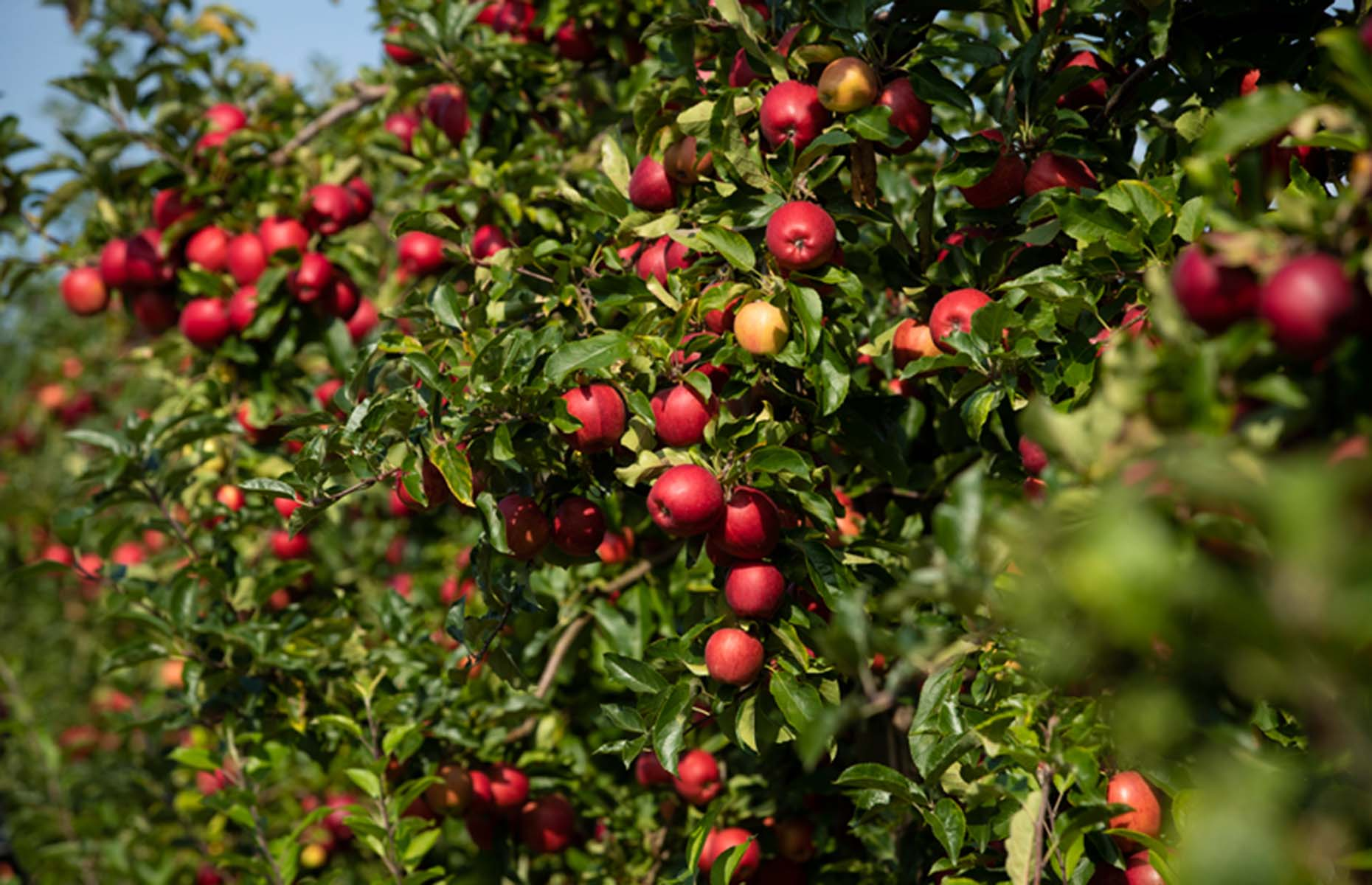 Red-skinned British apples on trees in an orchard (Image: British Apples & Pears Ltd.)