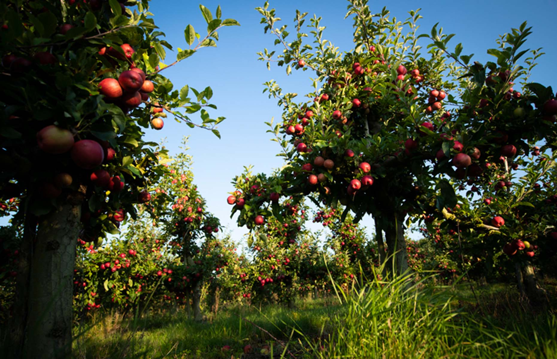 Ripe apples in an orchard (Image: British Apples & Pears Ltd.)