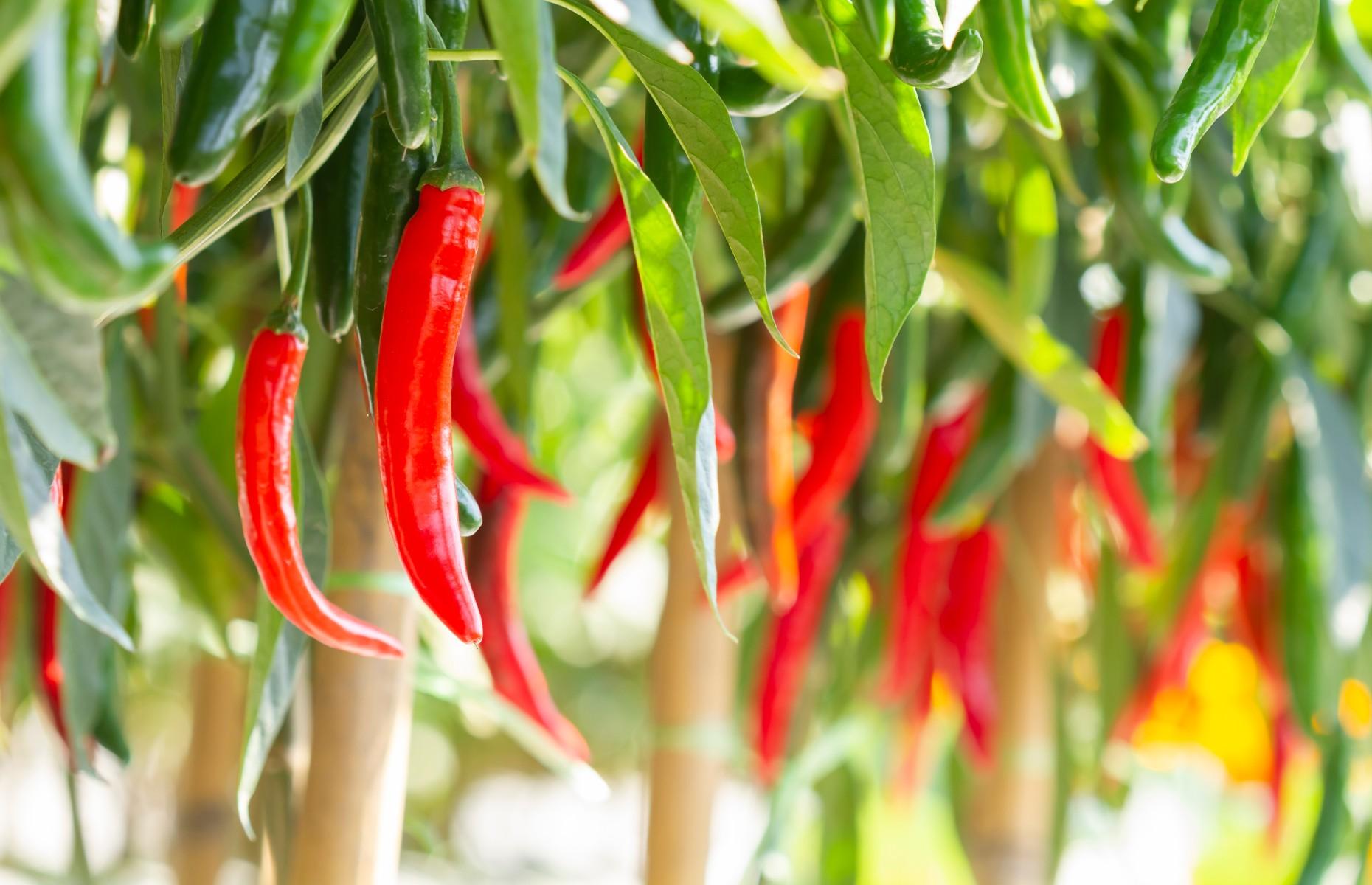 Chillies growing (Image: Worraket/Shutterstock)