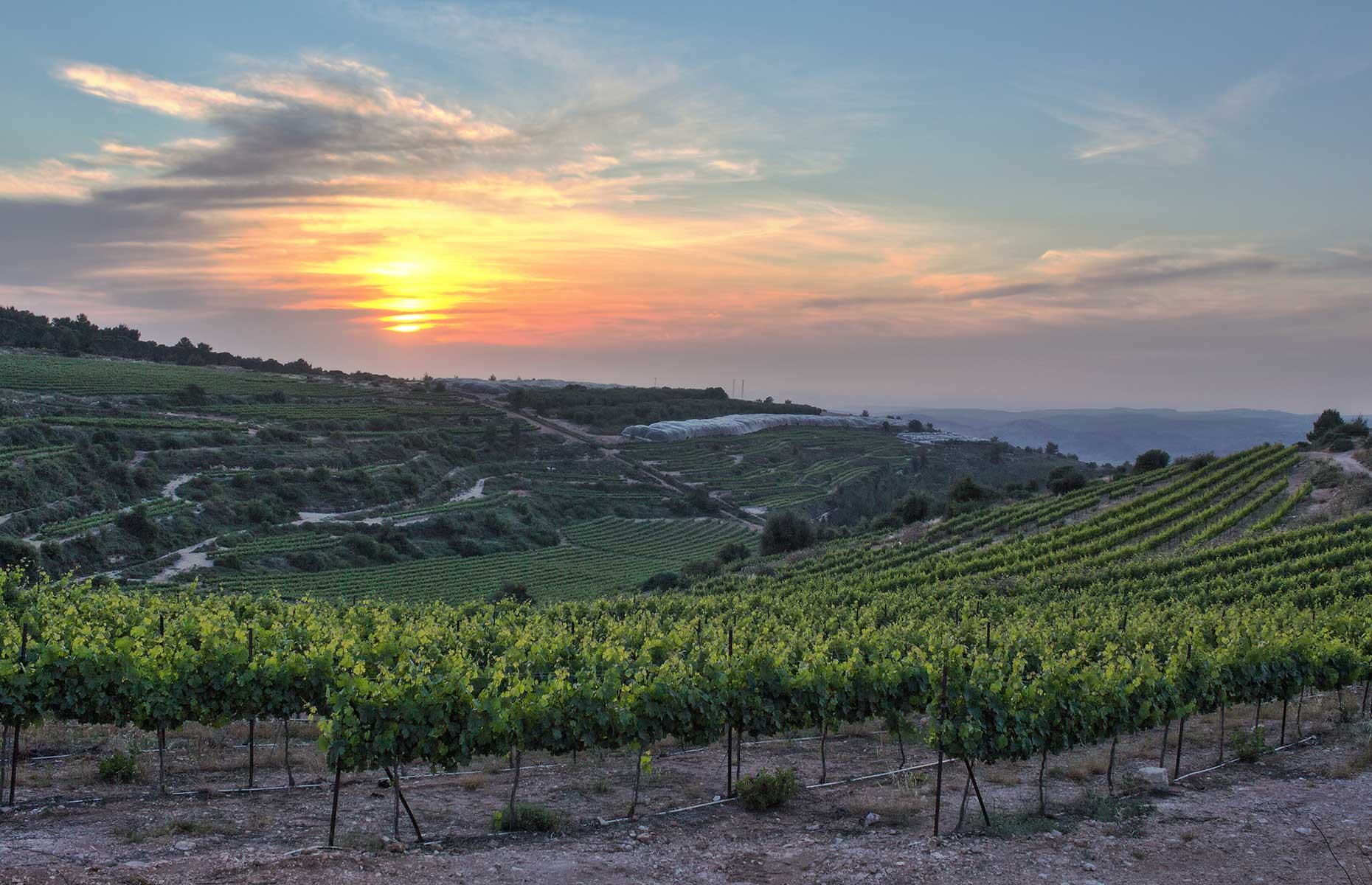 Israel-vineyard