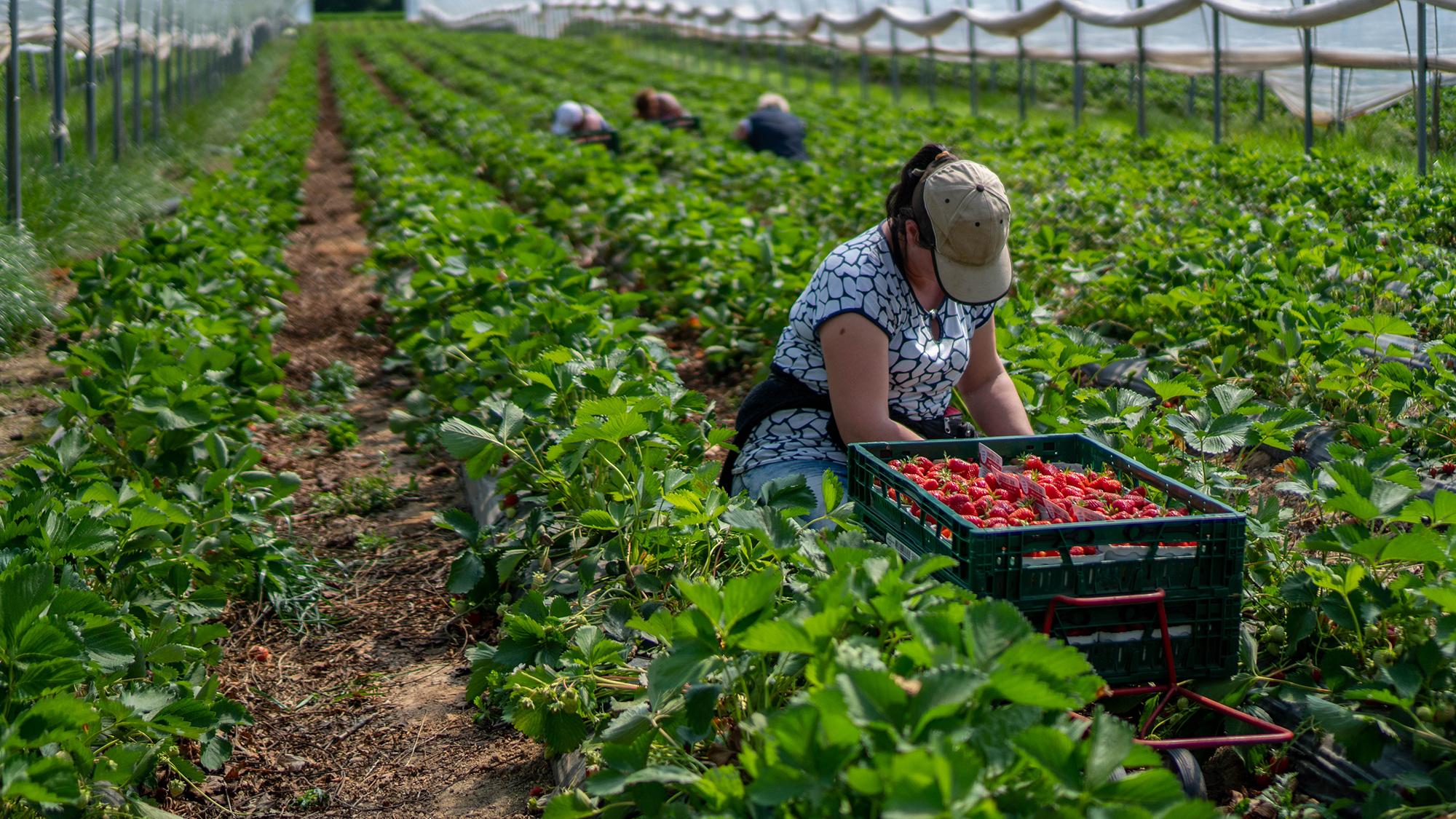 A woman picking fruit. (Image: Shutterstock)