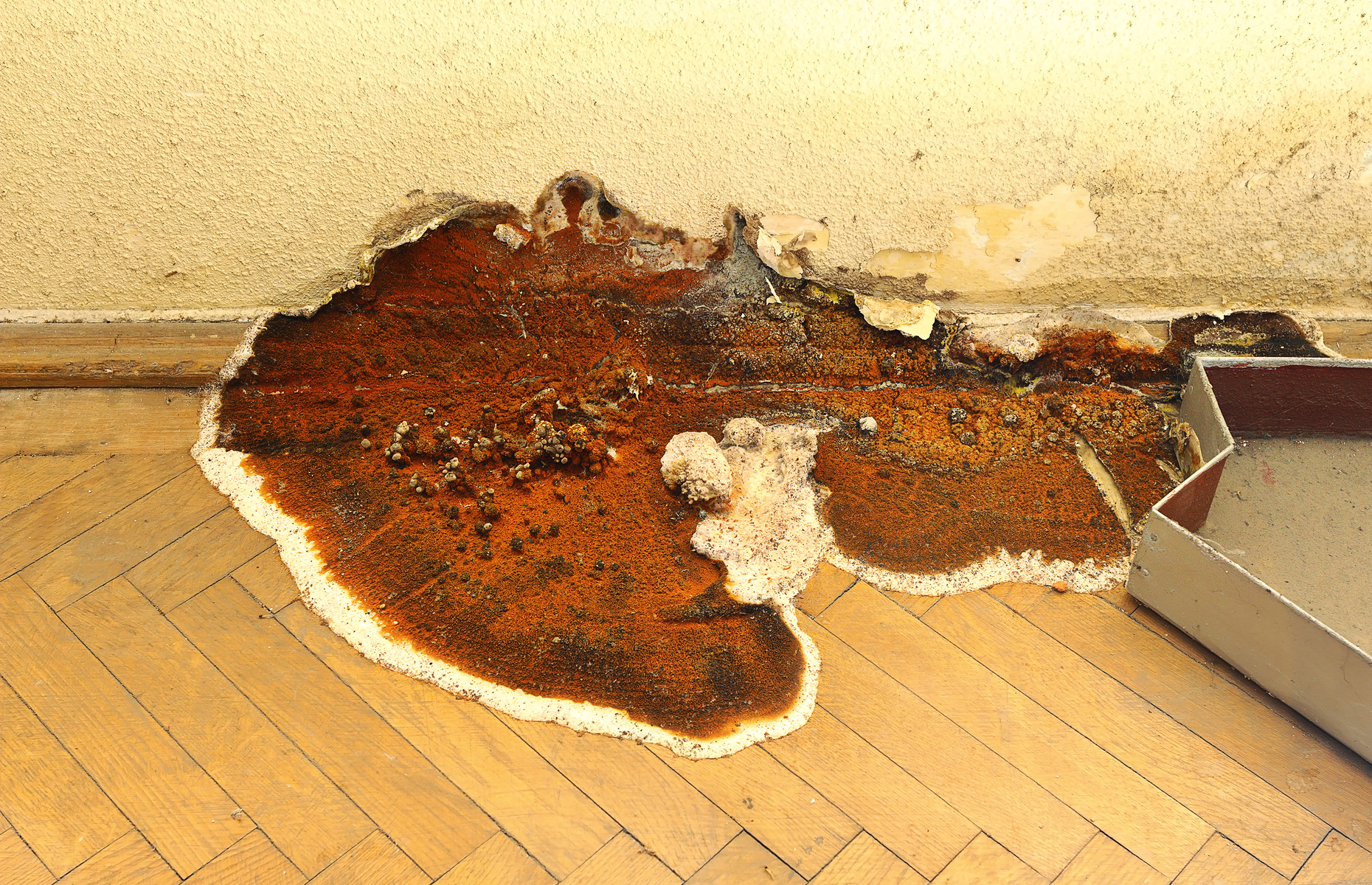 Wood affected by dry rot can feature white and rusty patches. Image: taviphoto/Shutterstock