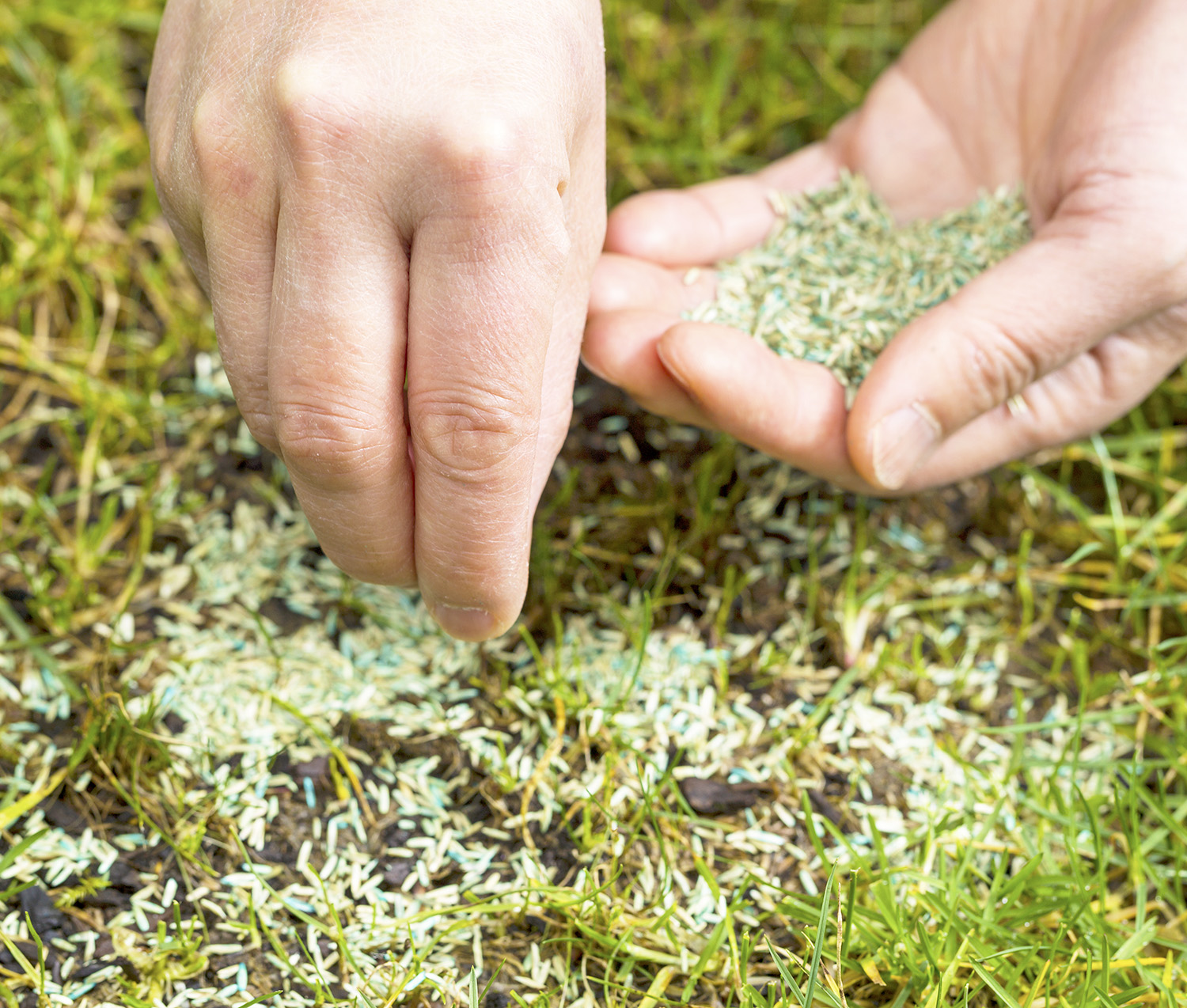 Overseed bare patches of lawn. Image: Shutterstock
