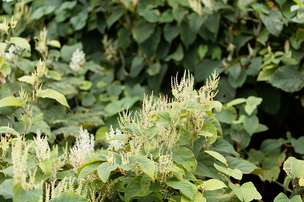 Japanese knotweed pictures