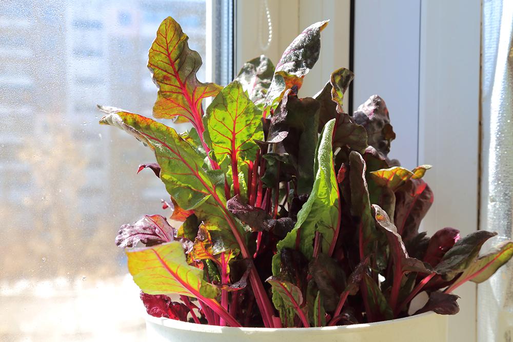 Grow salad on a windowsill