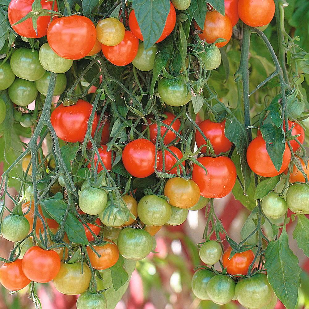 Tumbling Tom tomatoes growing in a hanging basket